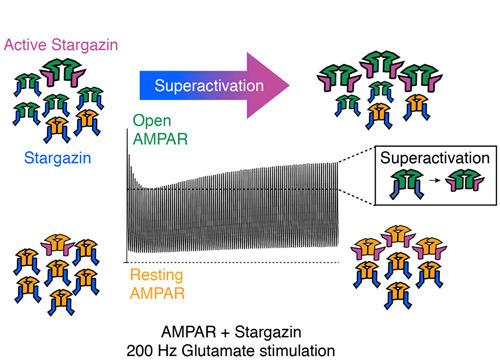 Super-Aktivierung von AMPA-Rezeptoren durch wiederholte Stimulation. © Plested, FMP