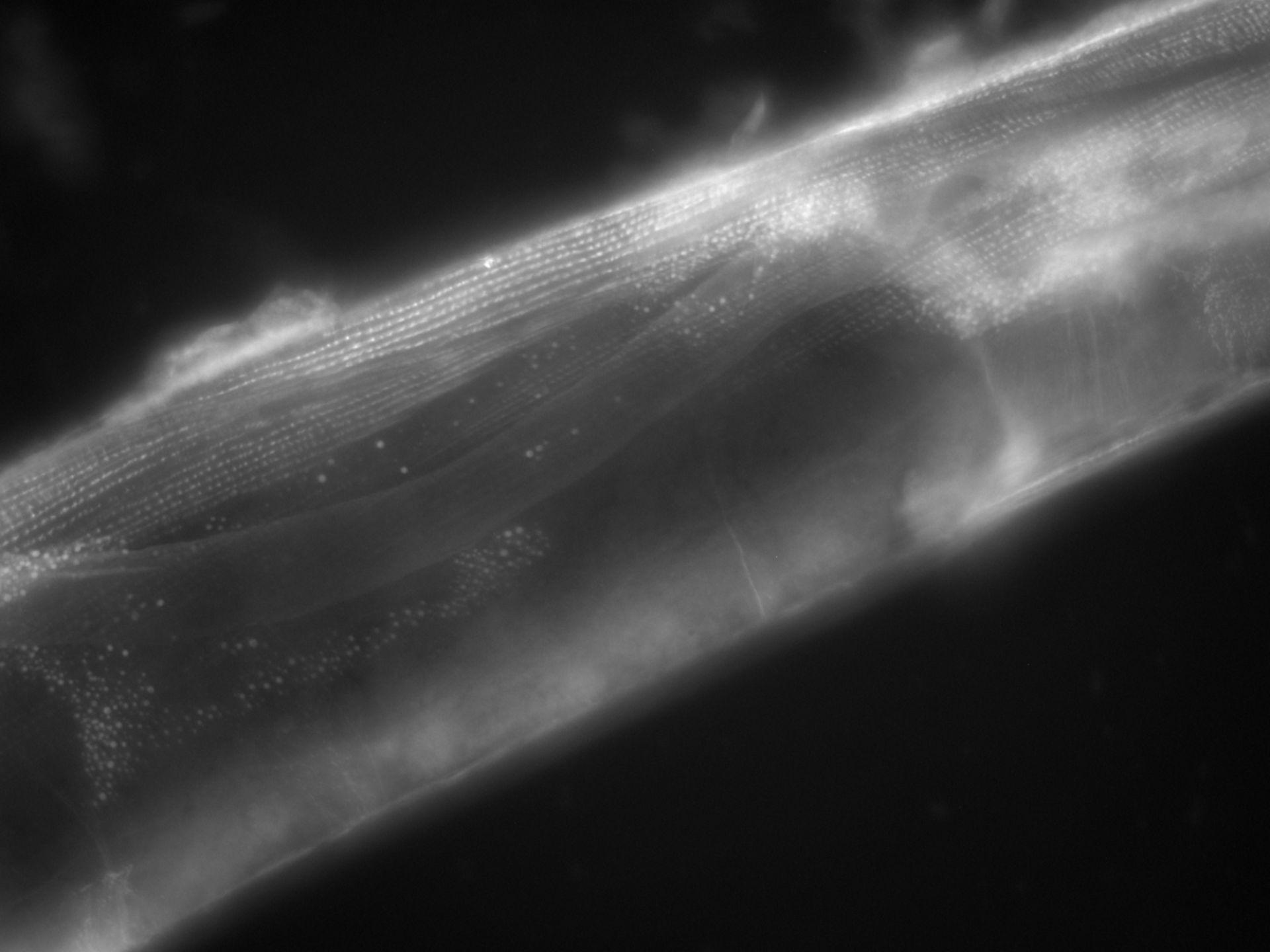 Caenorhabditis elegans (filamento di actina) - CIL:1121