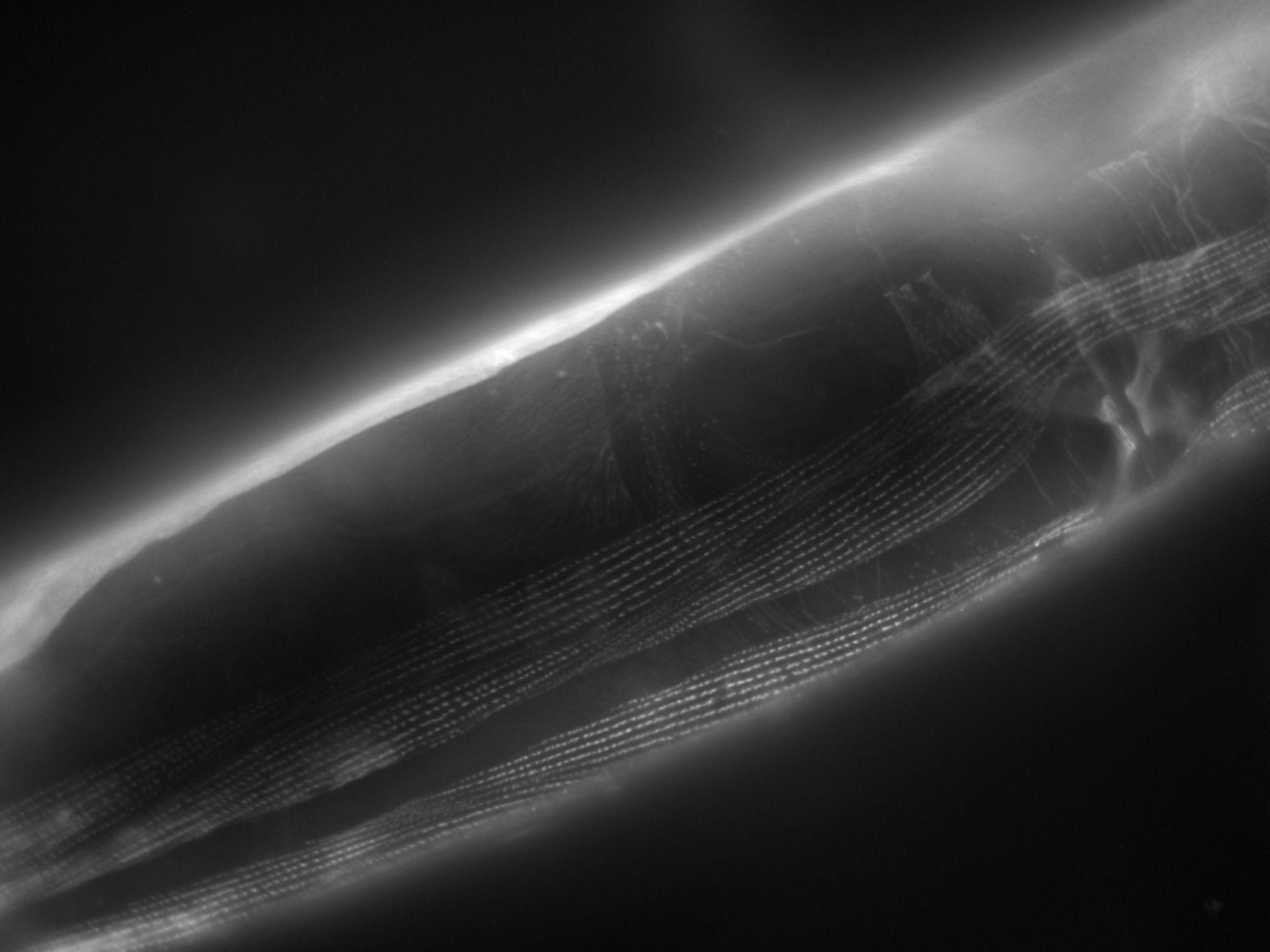 Caenorhabditis elegans (Actin filament) - CIL:1140