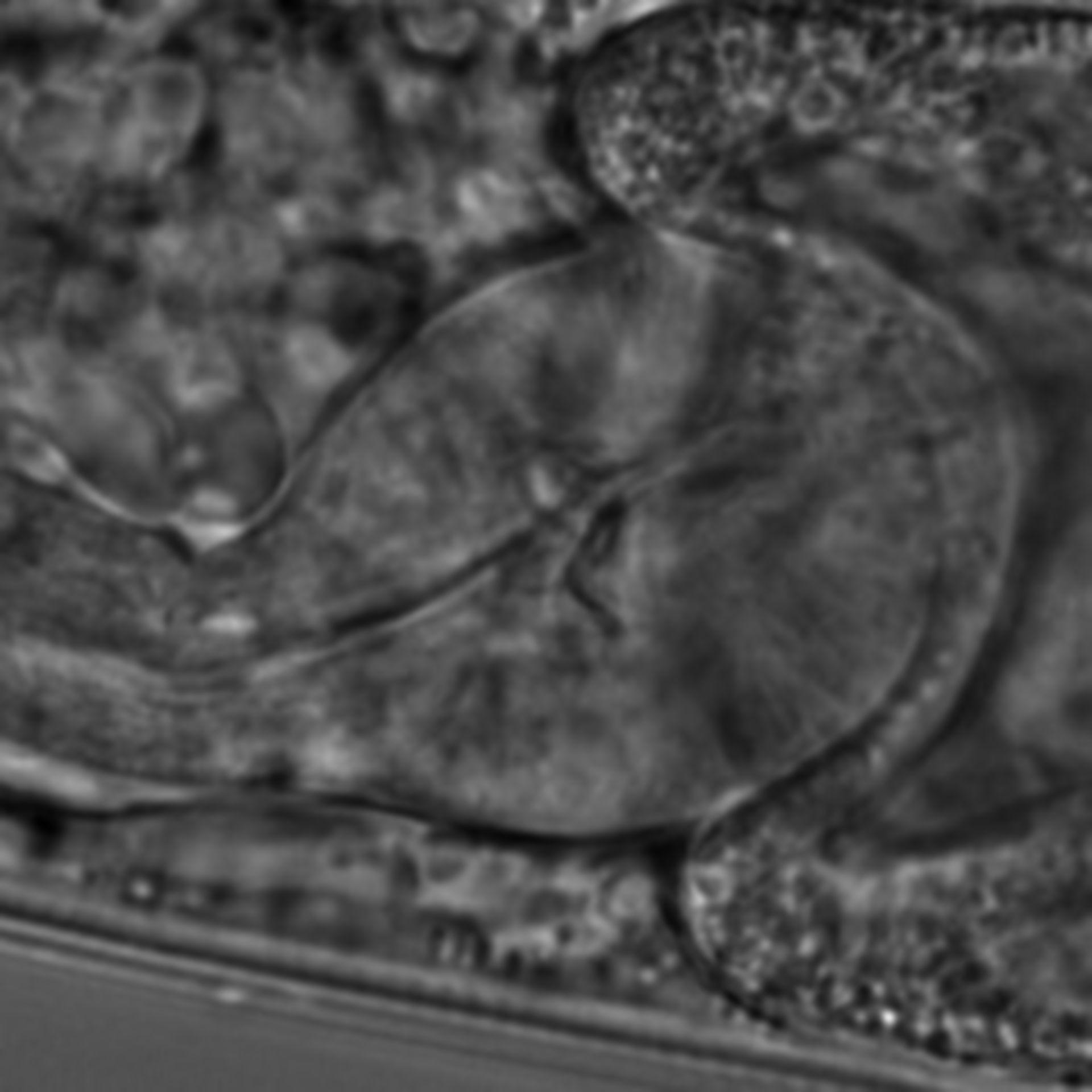 Caenorhabditis elegans - CIL:1649