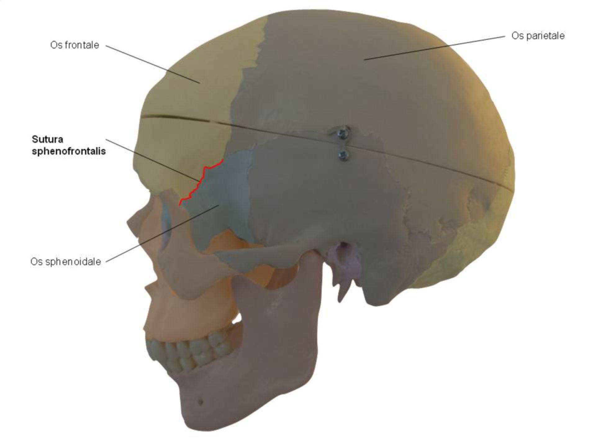 Sutura sphenofrontalis