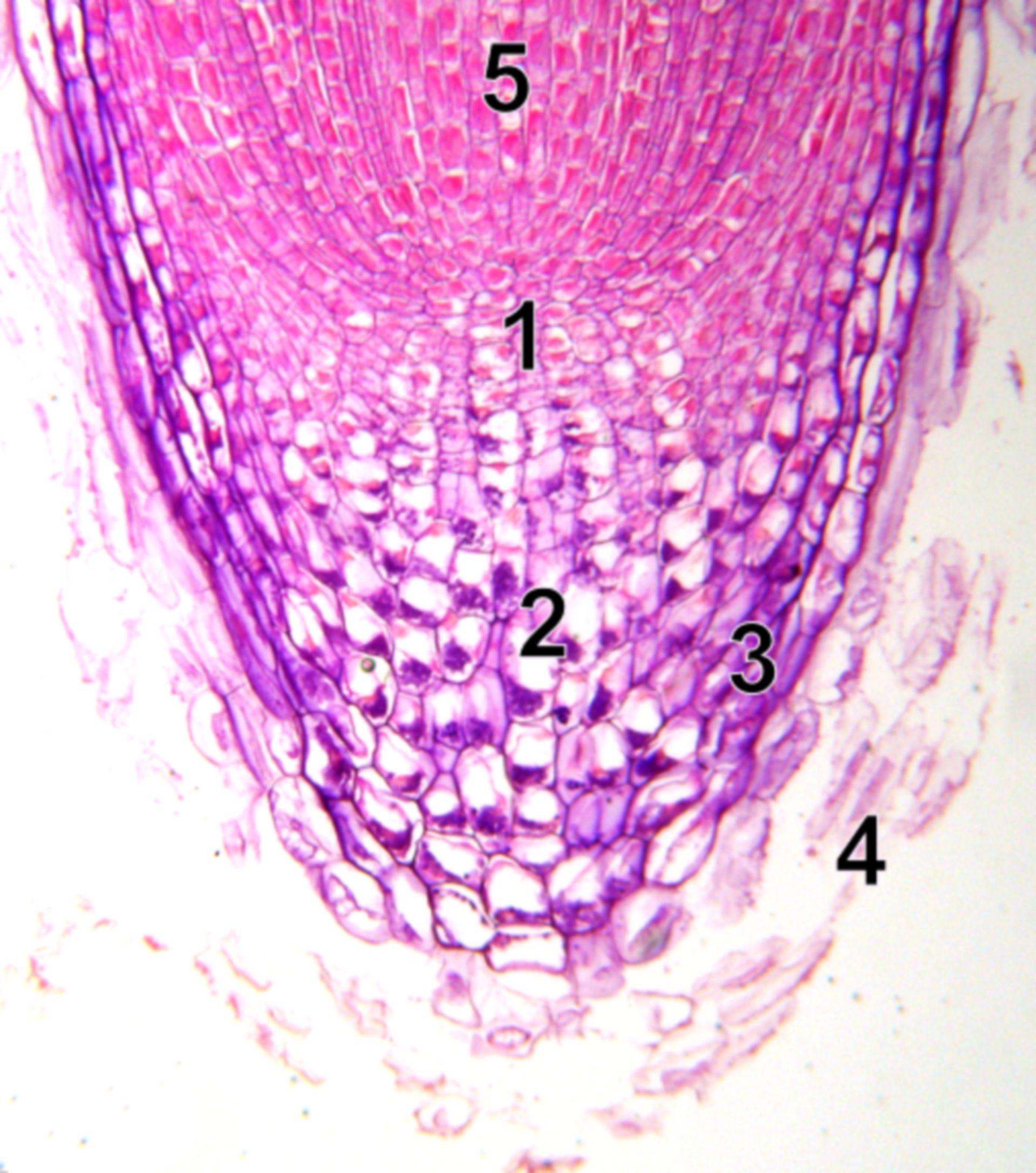 Kormophyt: Wurzelspitze (mikroskopisch)