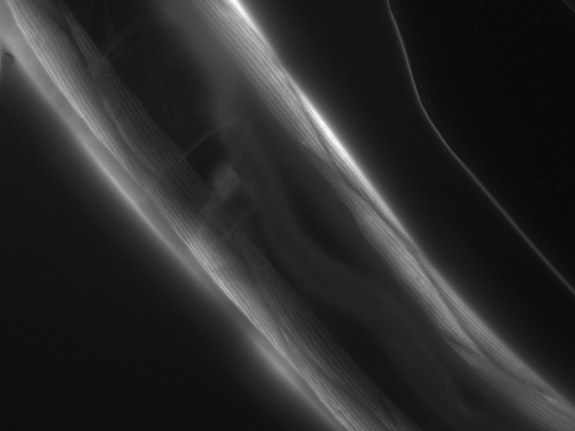 Caenorhabditis elegans (filamento di actina) - CIL:1071