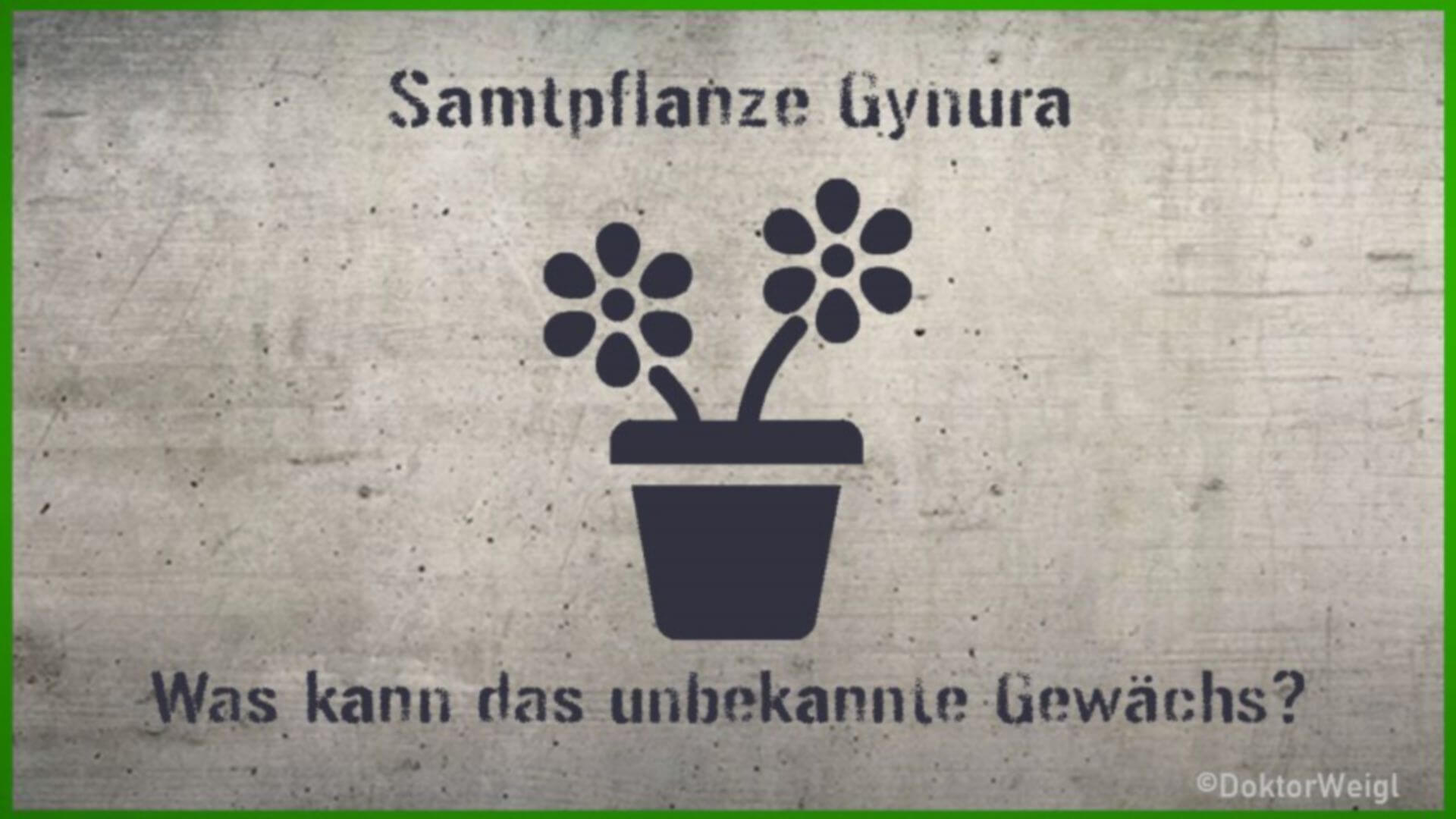 Gynura – Das alles kann die fast unbekannte Samtpflanze!