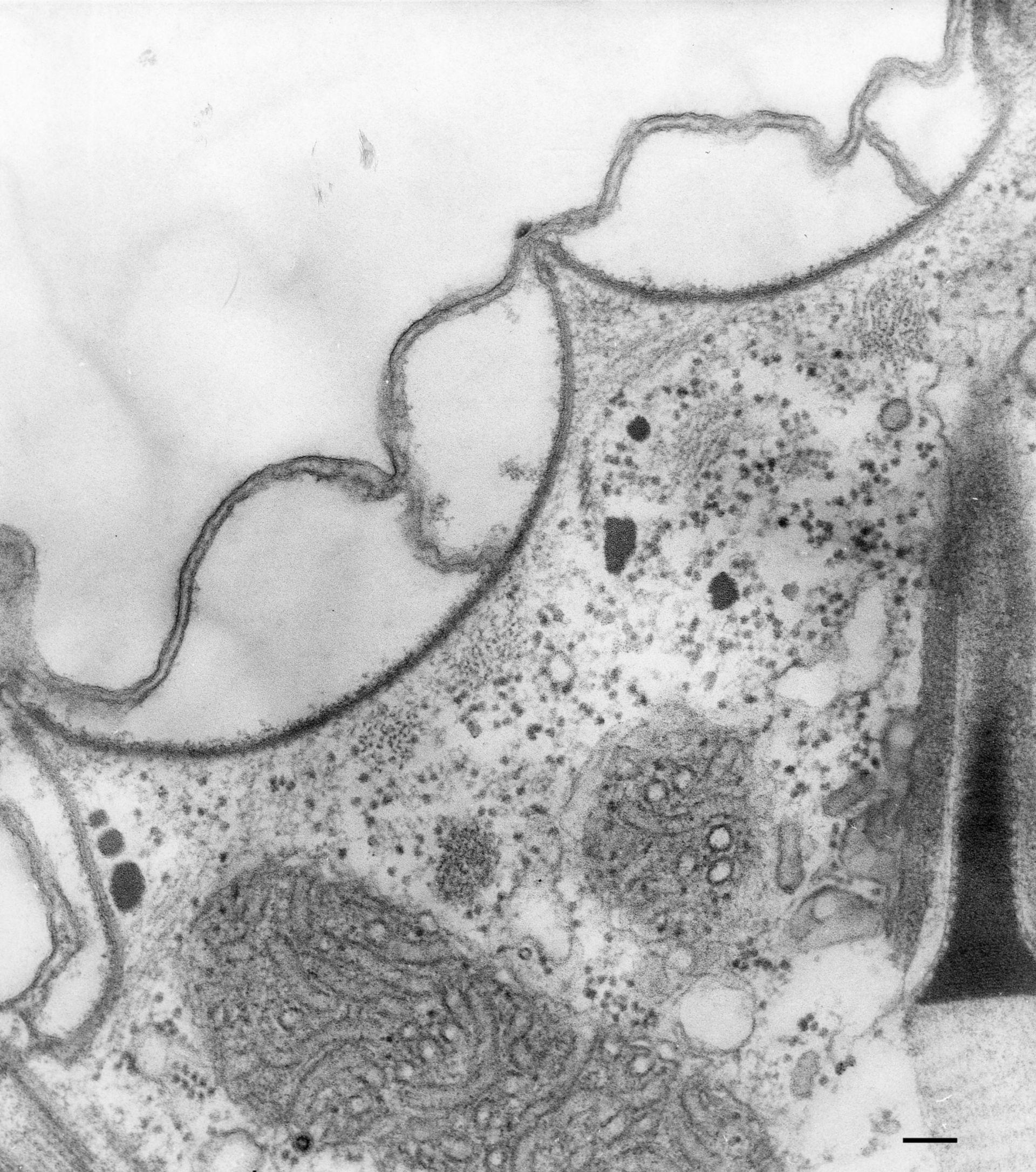 Paramecium multimicronucleatum (Corteccia cellulare) - CIL:36599