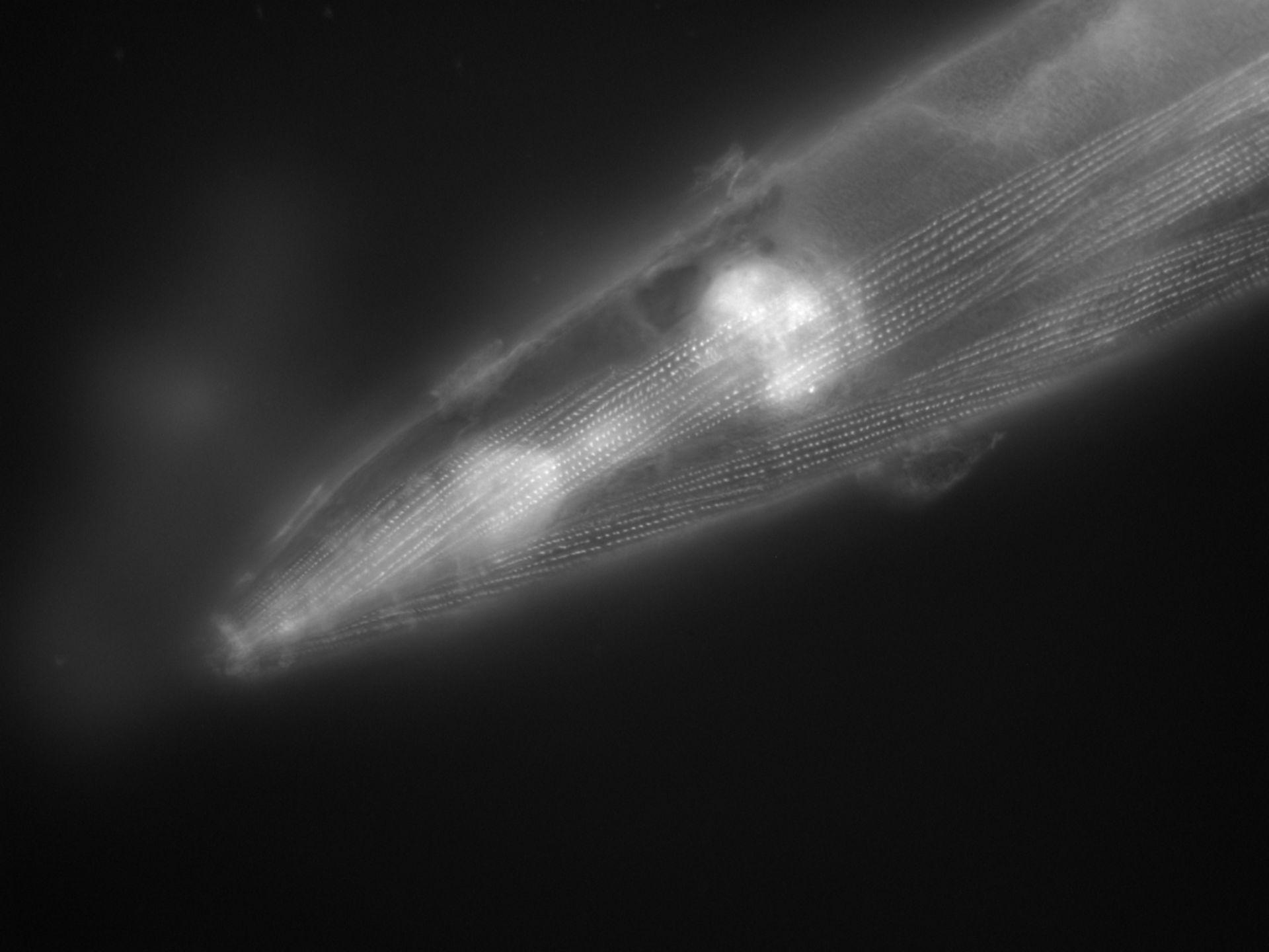 Caenorhabditis elegans (filamento di actina) - CIL:1142