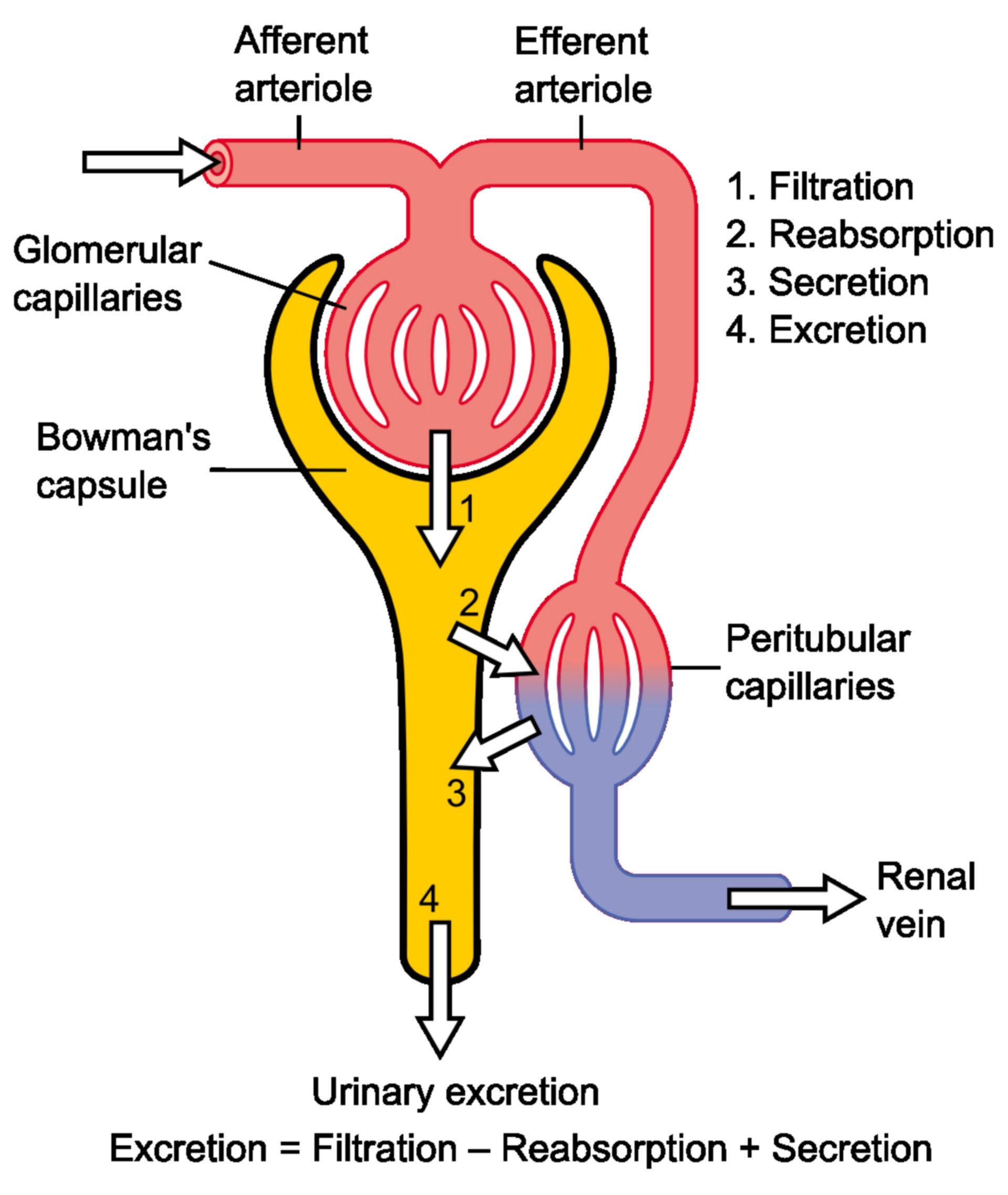 Fisiología de una nefrona (función renal, esquema)