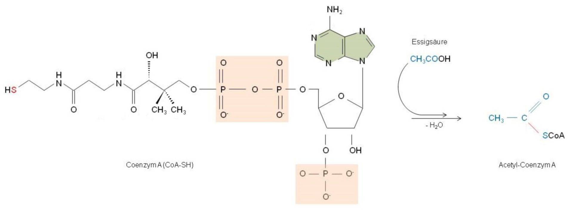 Bildung von Acetyl-Coenzym A