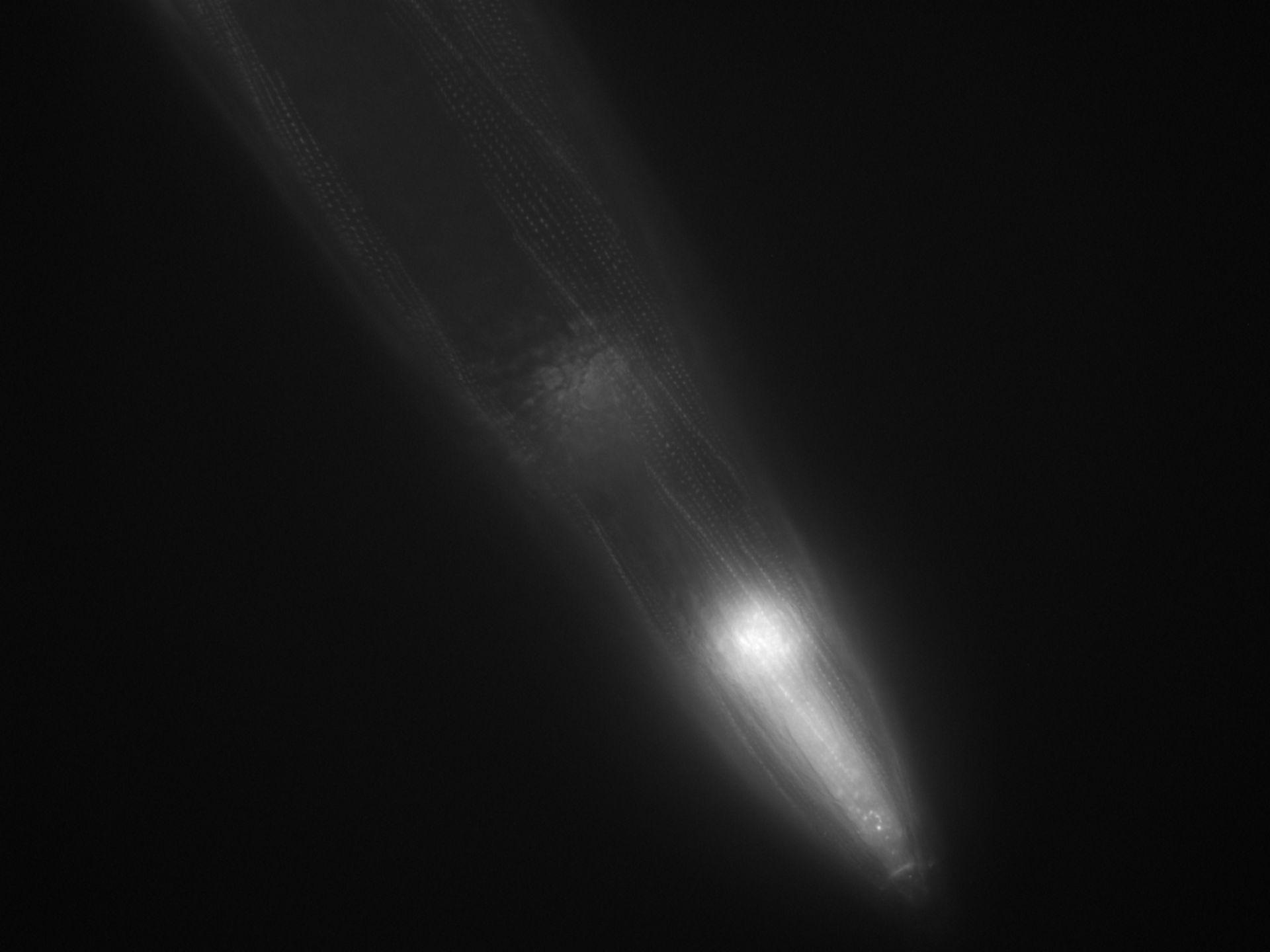 Caenorhabditis elegans (filamenti di actina) - CIL:1044