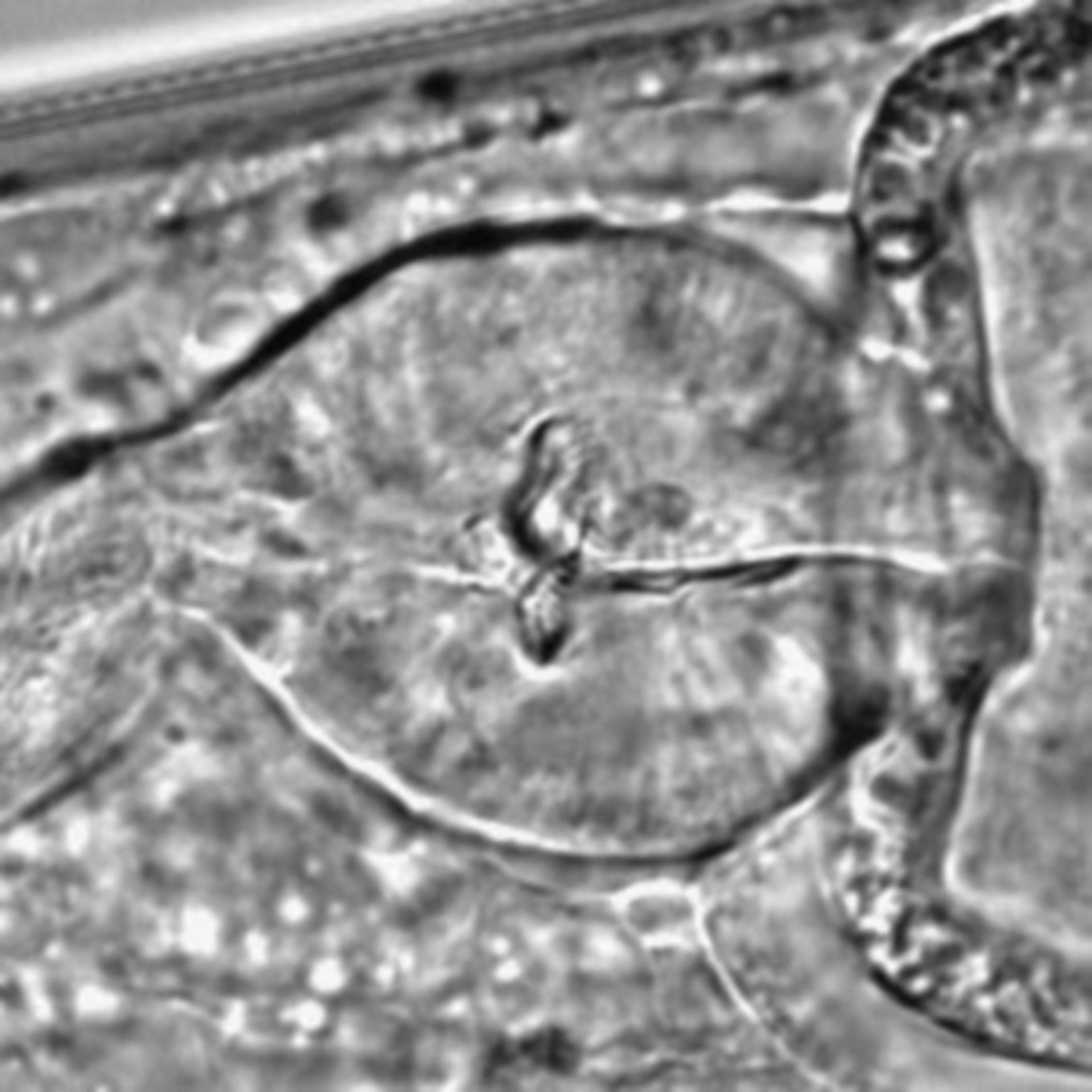 Caenorhabditis elegans - CIL:1641