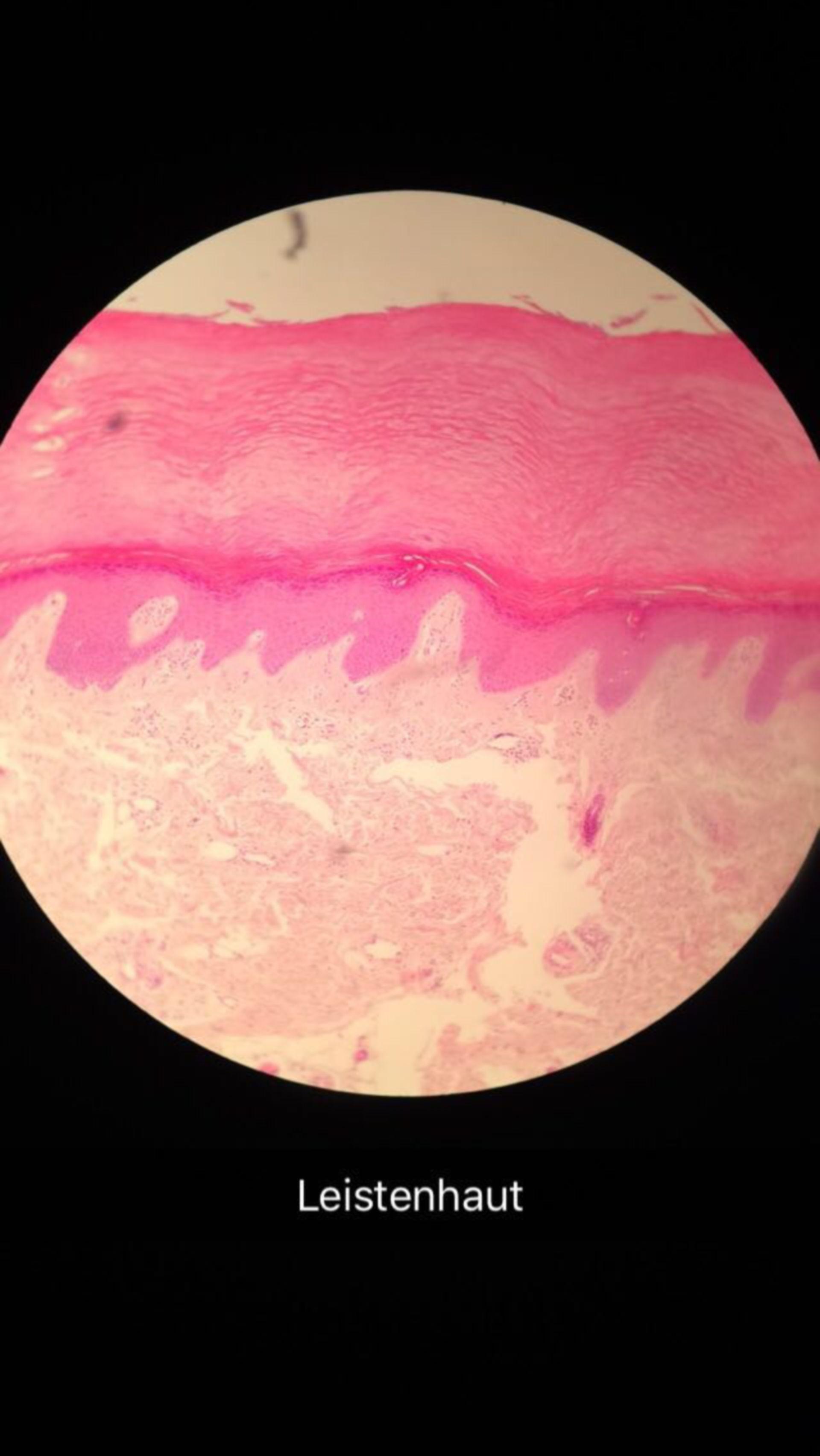 Histologie Leistenhaut HE-Färbung