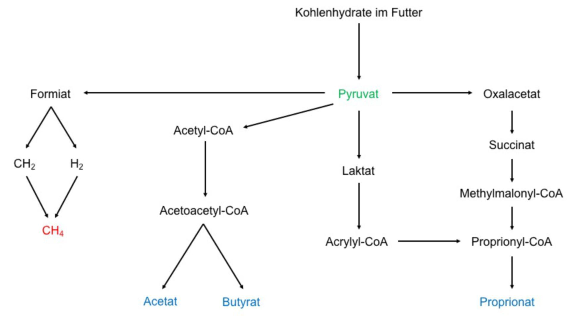 Kohlenhydratabbau im Pansen
