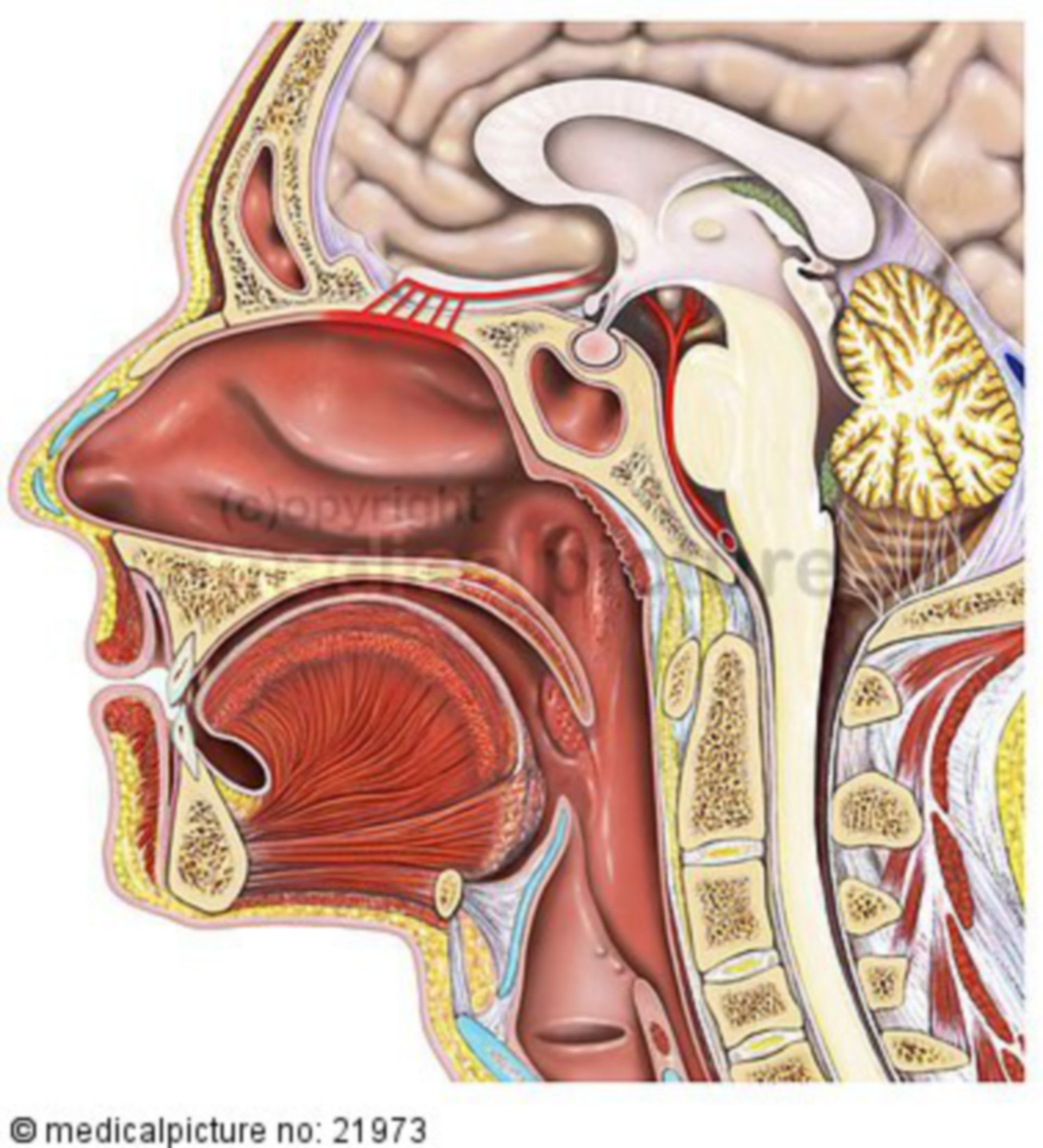 Sagittal cut of the head