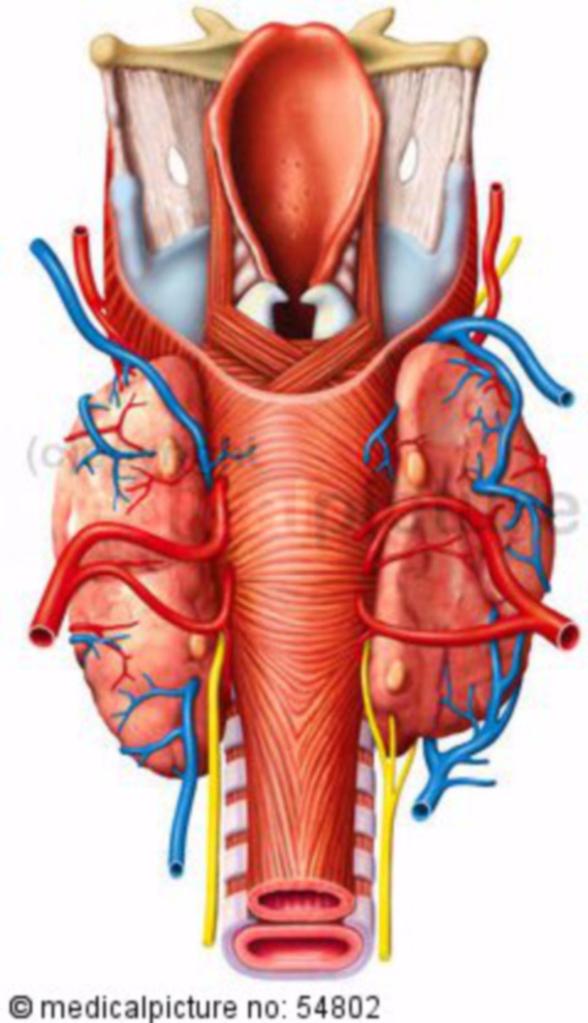 The pharynx from dorsally