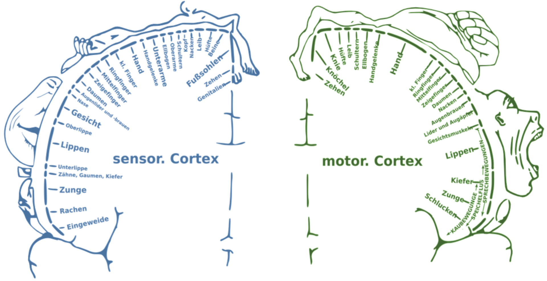 Homúnculo: Sensor y Motor (Esquema)