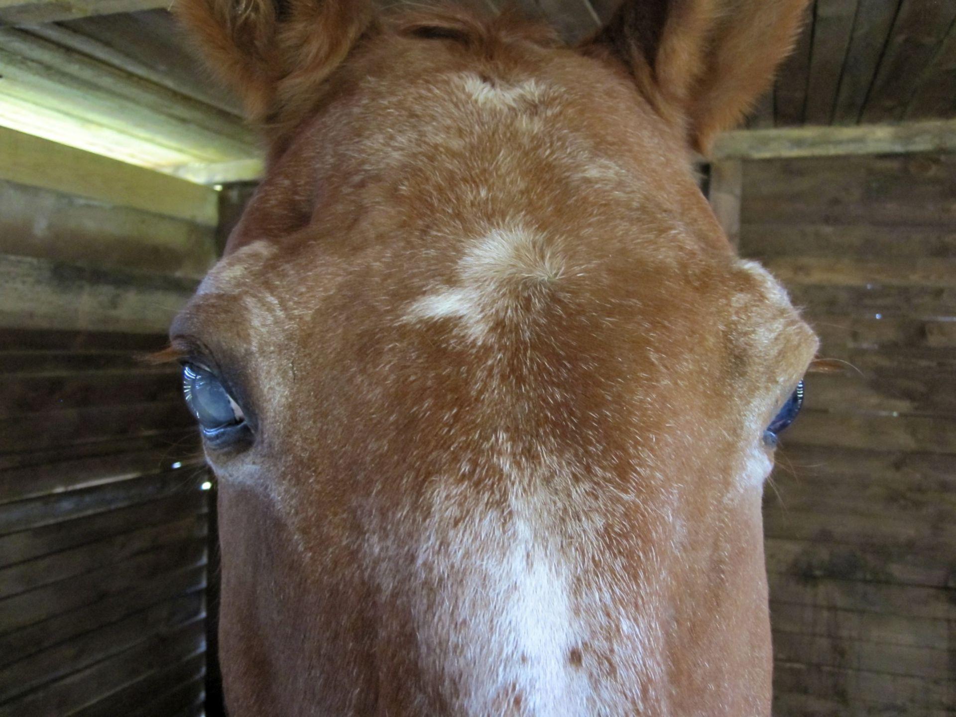 Pferdekopf mit Glaukom