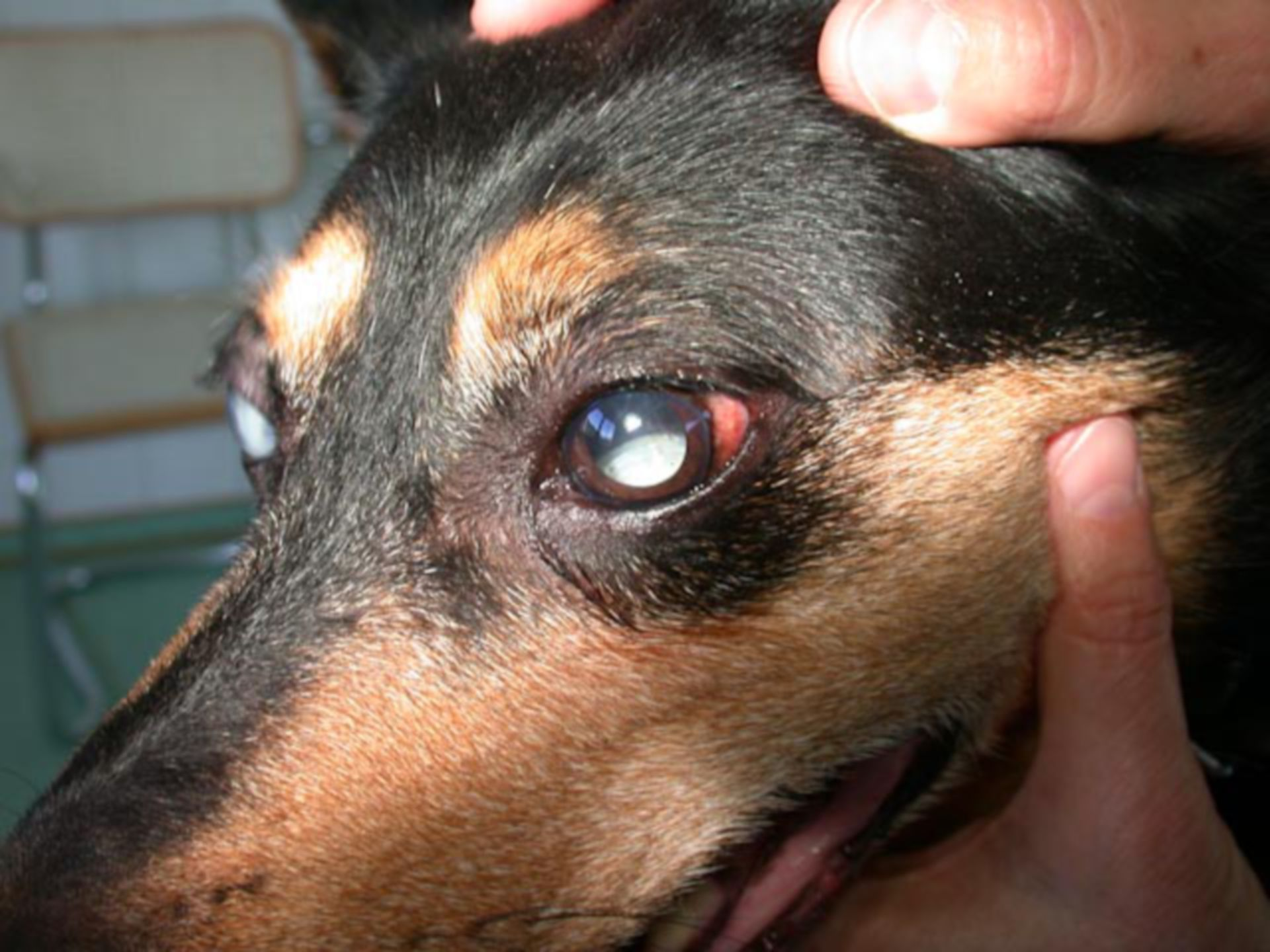 Veterinary medicine: Lens luxation in the posterior eye chamber
