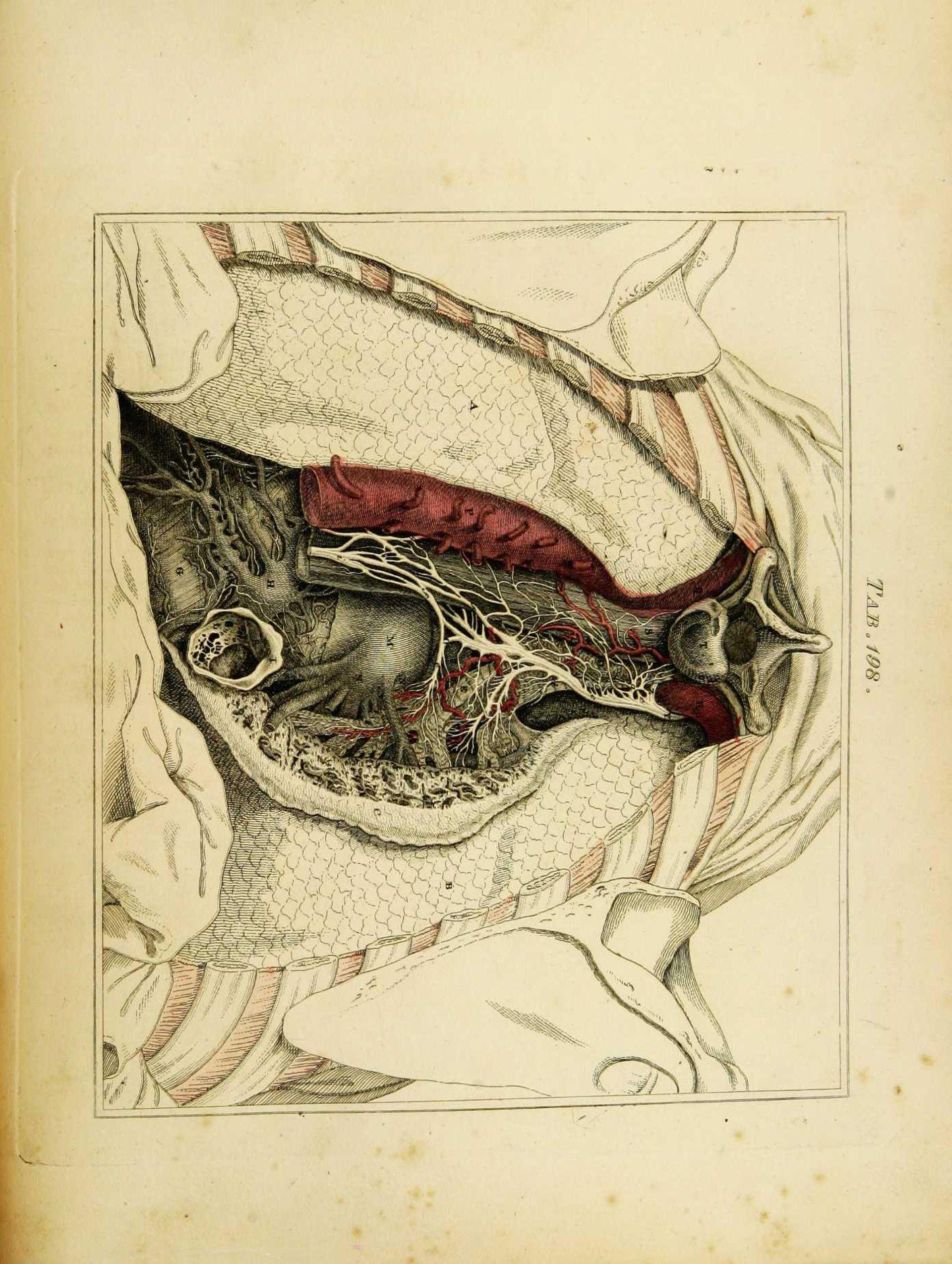 Eröffneter Thorax aus dorsaler Ansicht