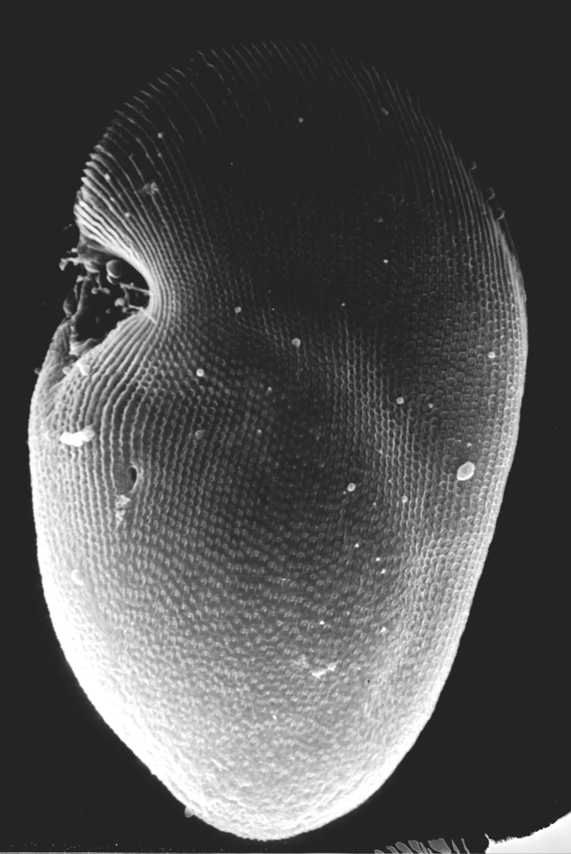 Conchophthirus curtus - CIL:40904