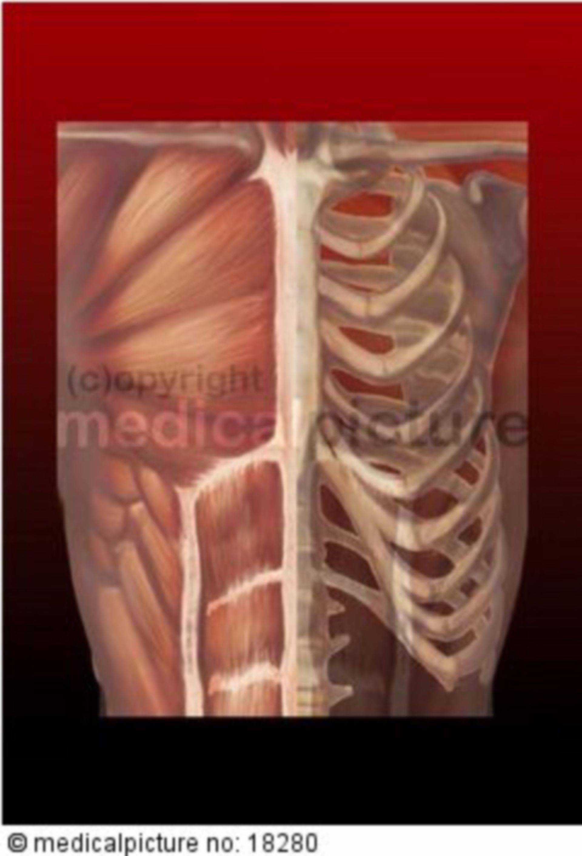 Brustkorb, halb Muskeln halb Skelett