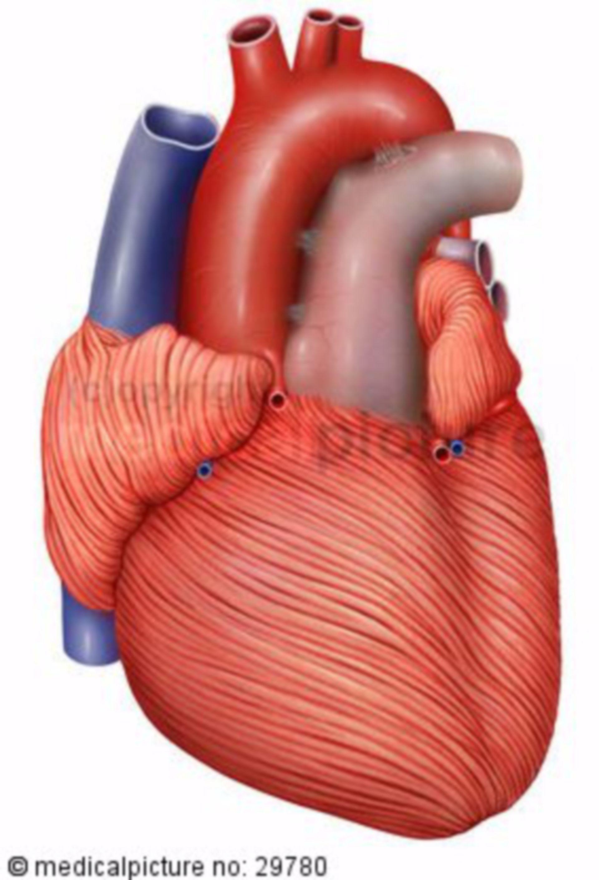 Herzmuskulatur