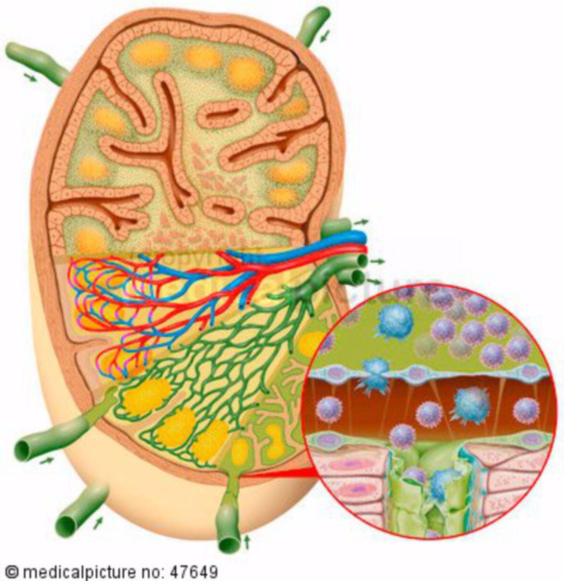 Lymph node, cross-section