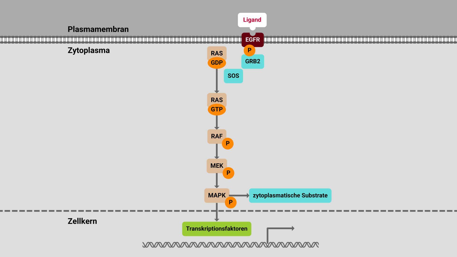 Ras/Raf/MAPK-Signalweg