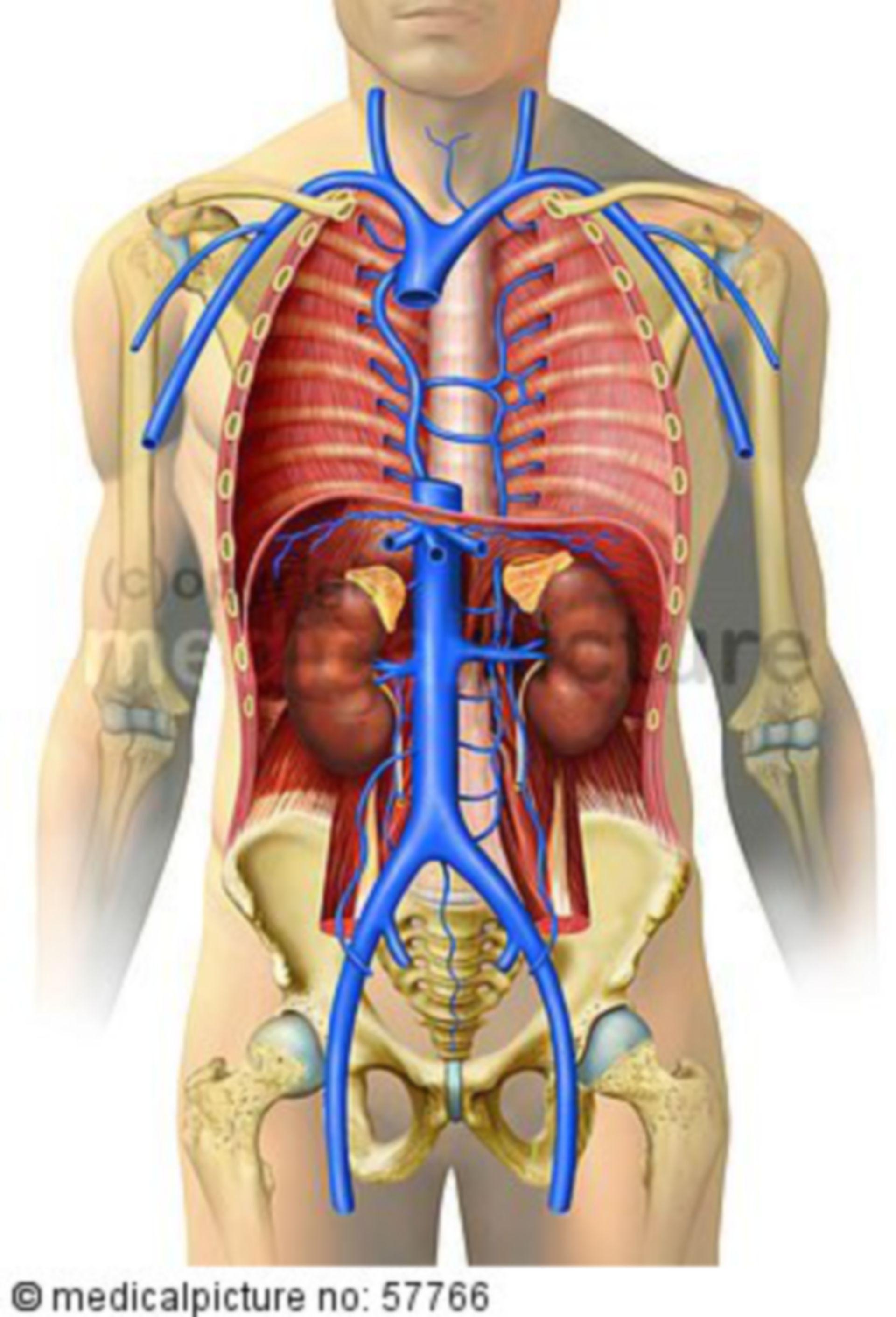 Anatomiche illustrazioni - circolazione del sangue venoso