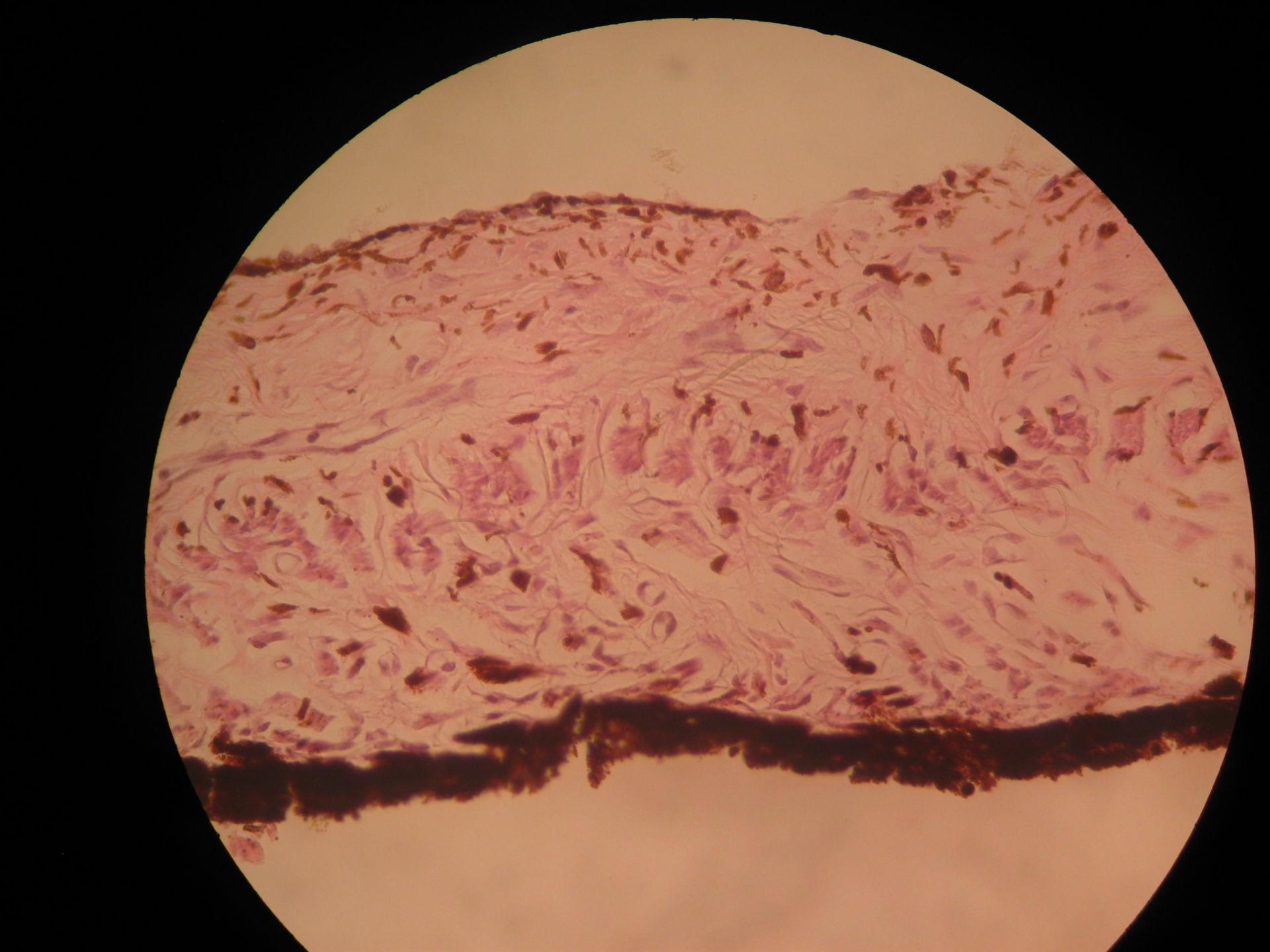 Auge des Schafes - Iris   M. dilatator pupillae