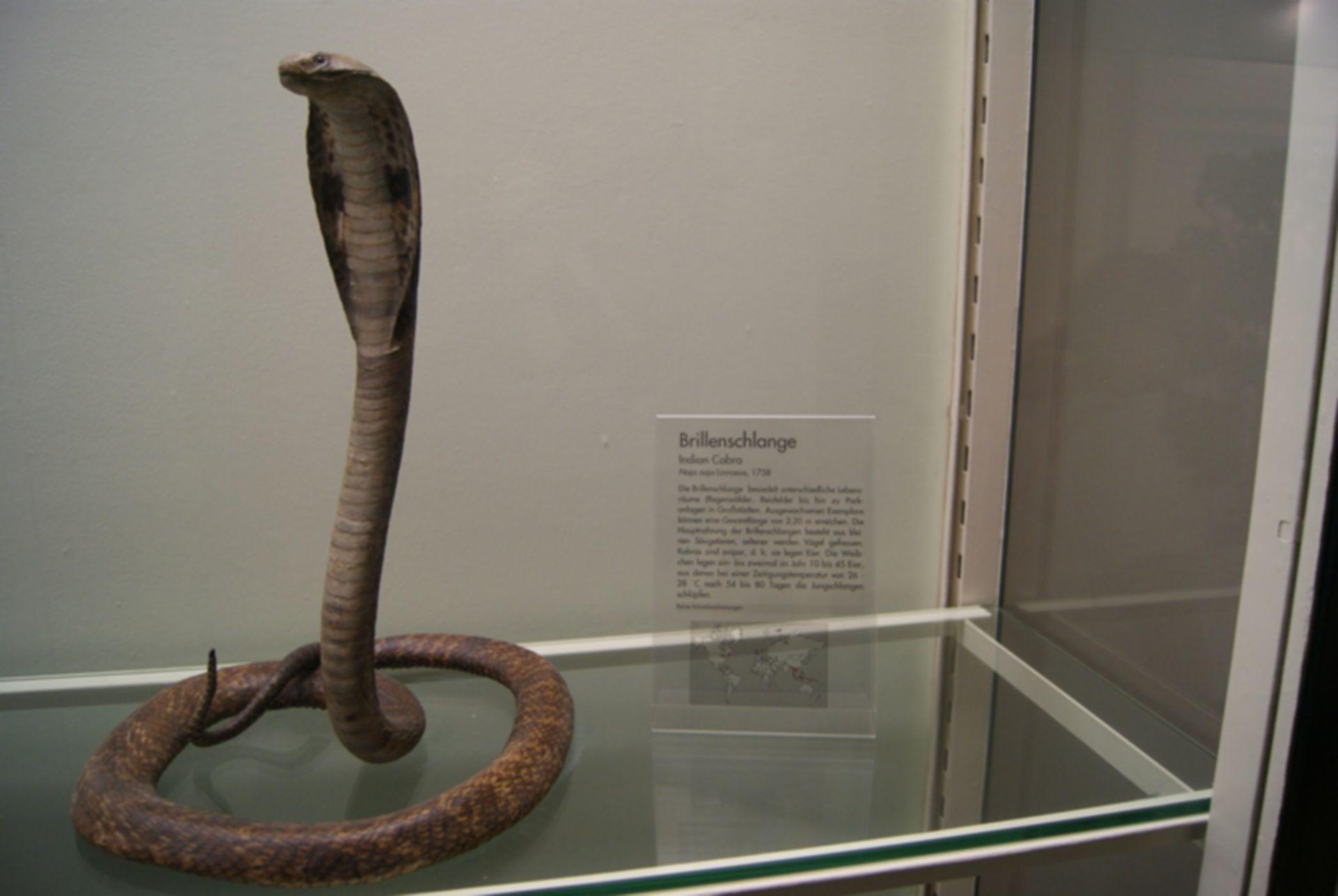 Indian cobra - Naja naja