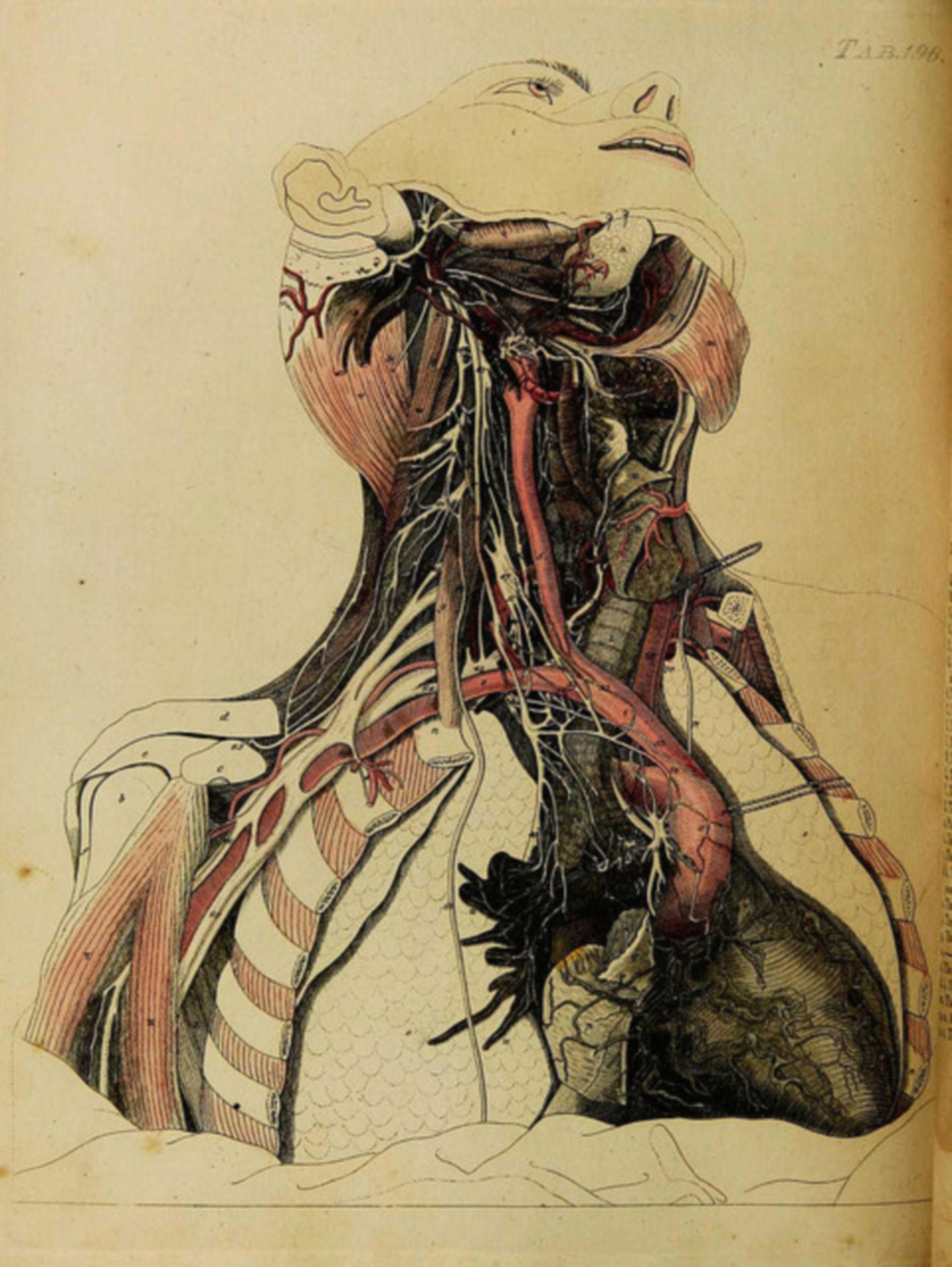 Gefäße und Nerven Hals- und Thoraxbereich