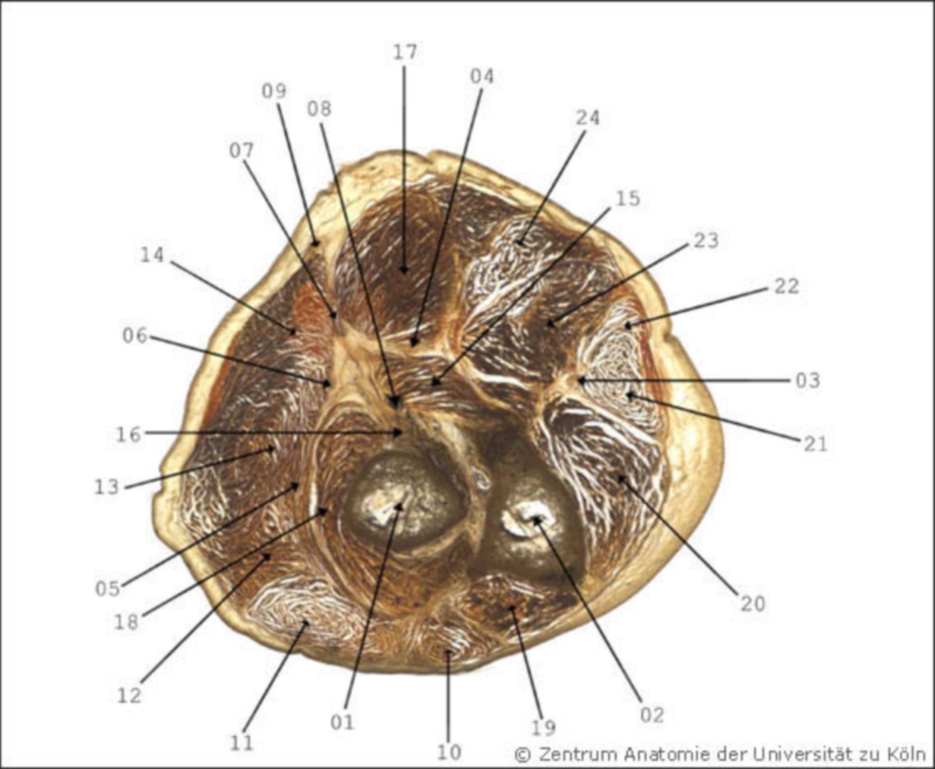 Antebrachium (anatomy)