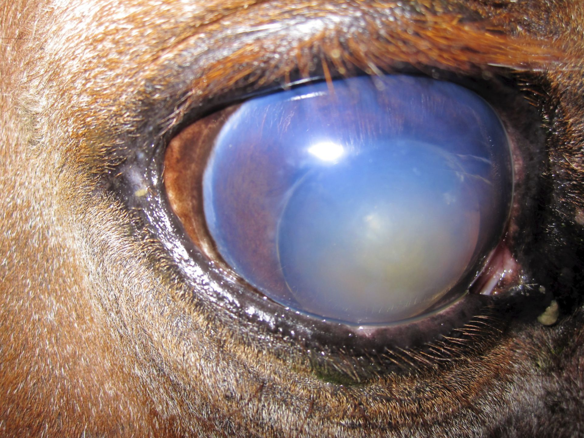 Glaucoma in a horse
