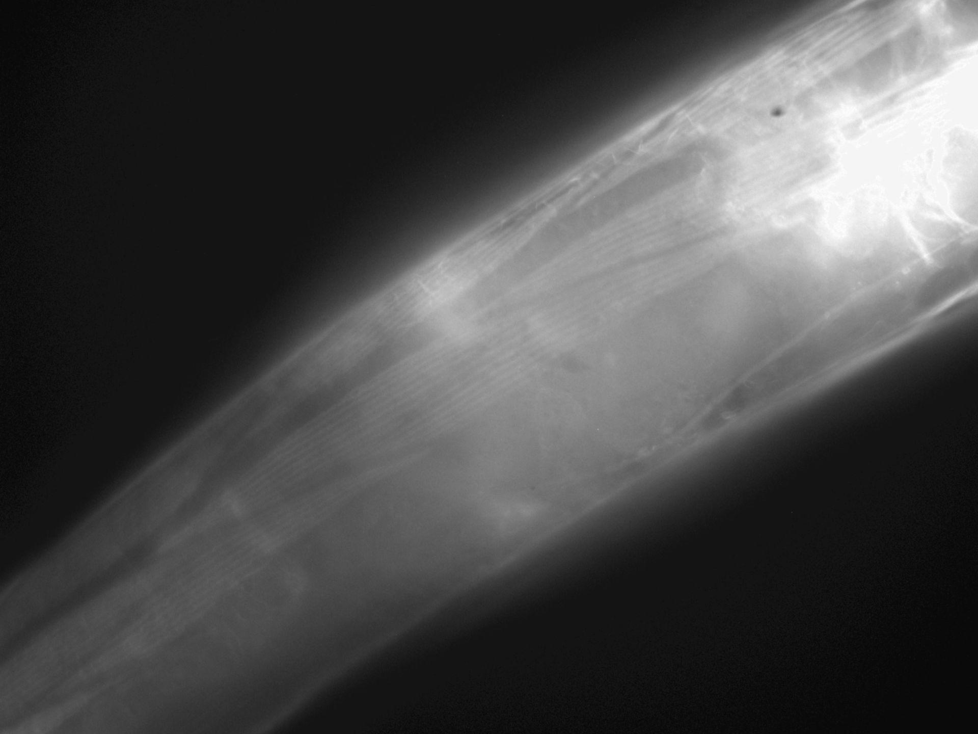 Caenorhabditis elegans (Actin filament) - CIL:1290