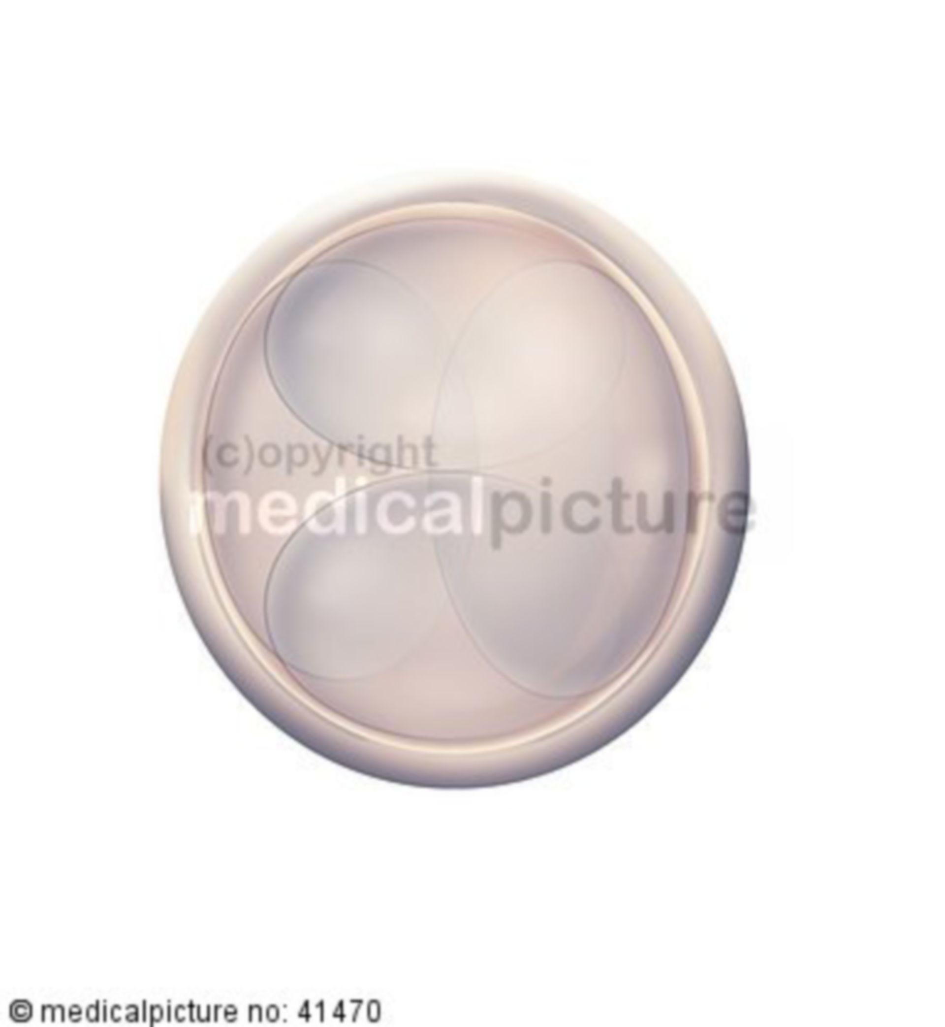 Eizelle, 3. Stadium, Embryogenese