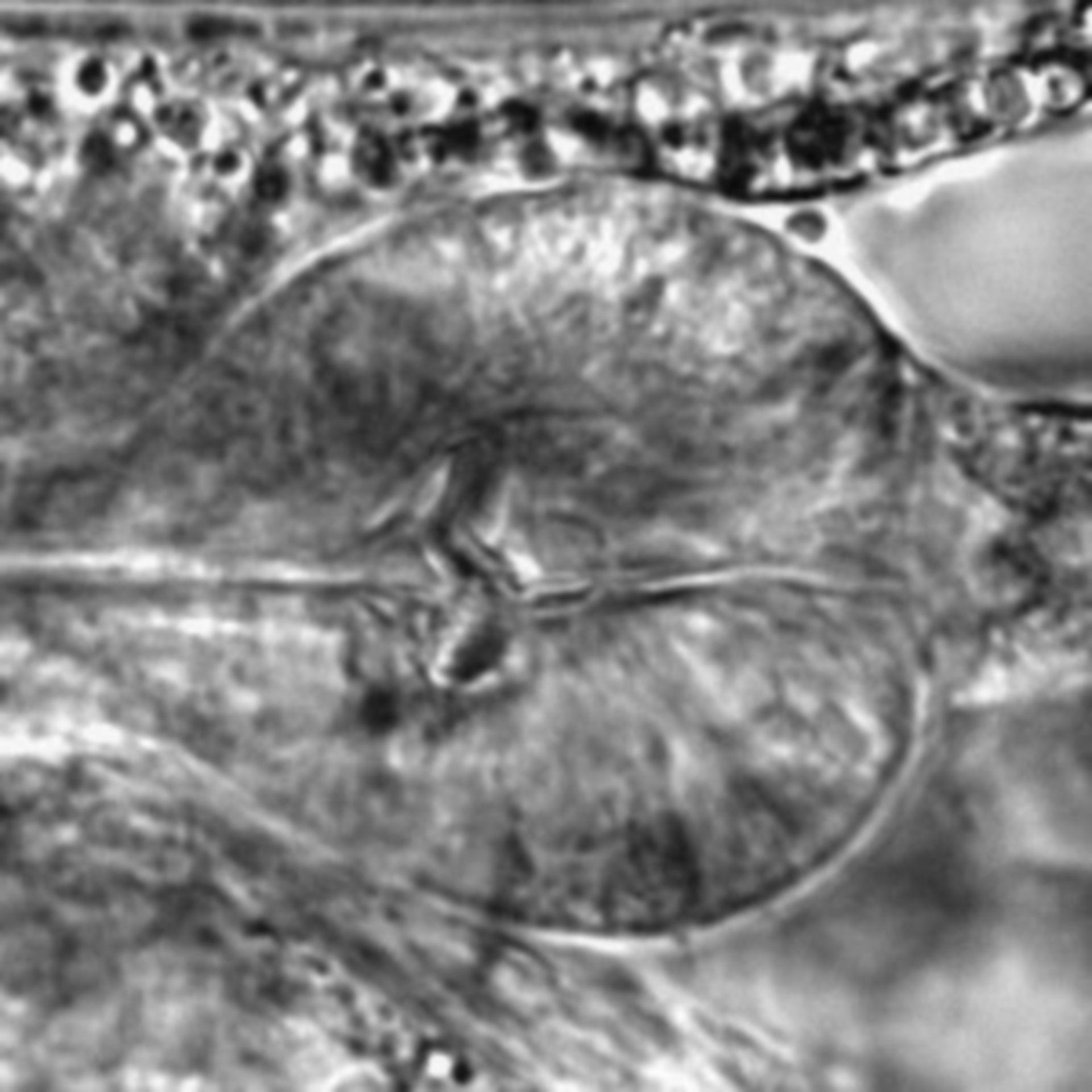 Caenorhabditis elegans - CIL:1727