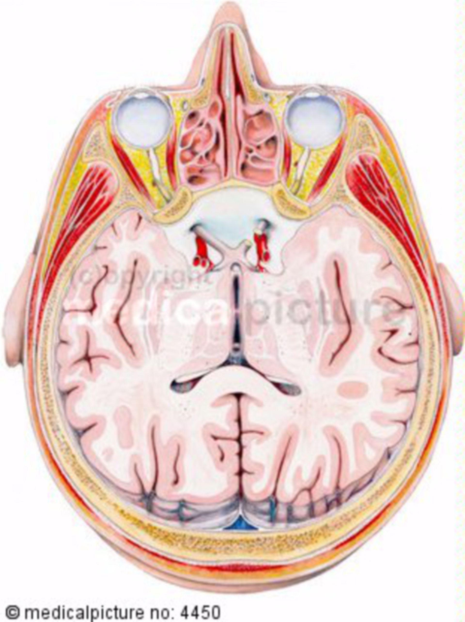 Sezione orizzontale attraverso la testa