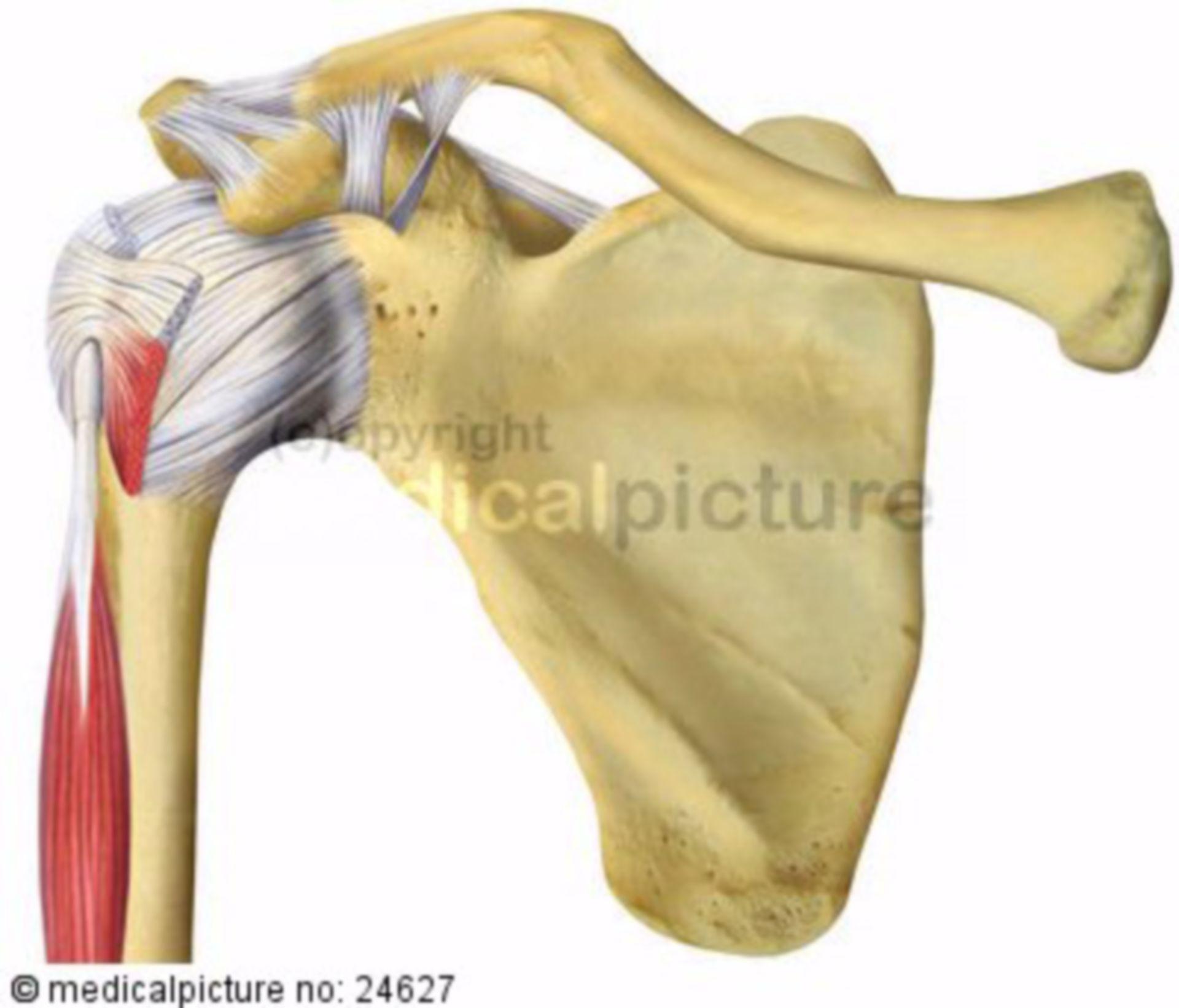 Schultergelenk von ventral