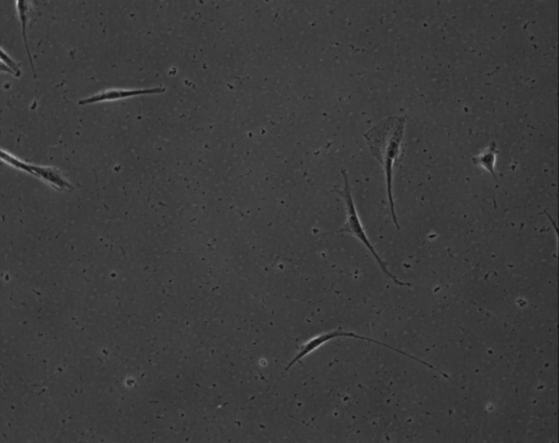 Mus musculus (Extracellular matrix part) - CIL:8904