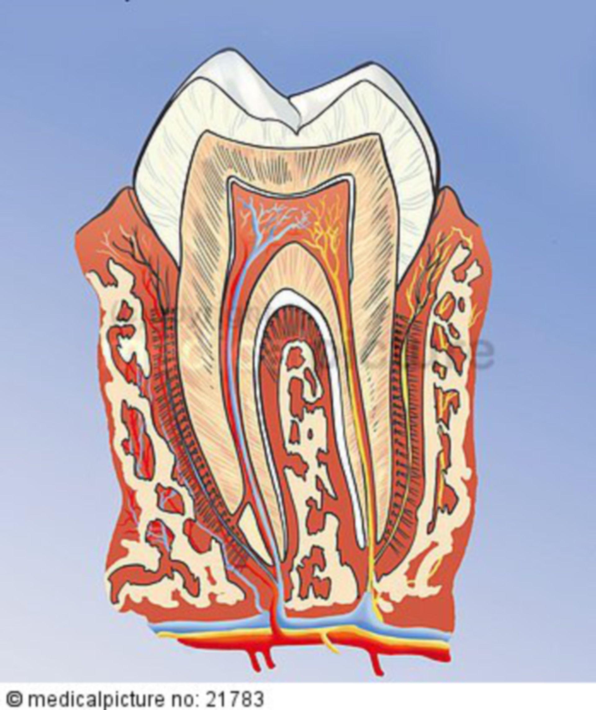 Tooth, longitudinal section