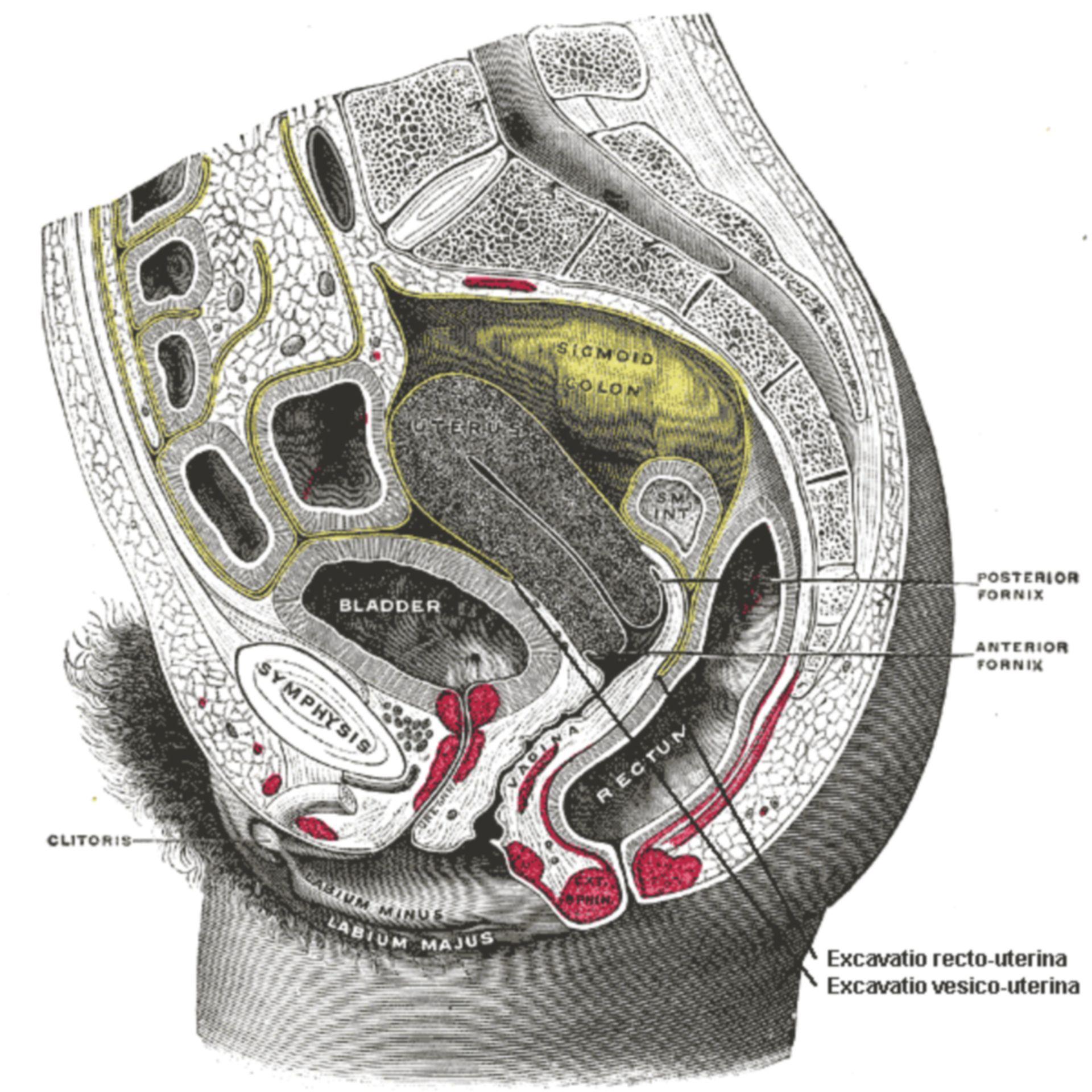 Anatomie des weiblichen Beckens (Medianschnitt)