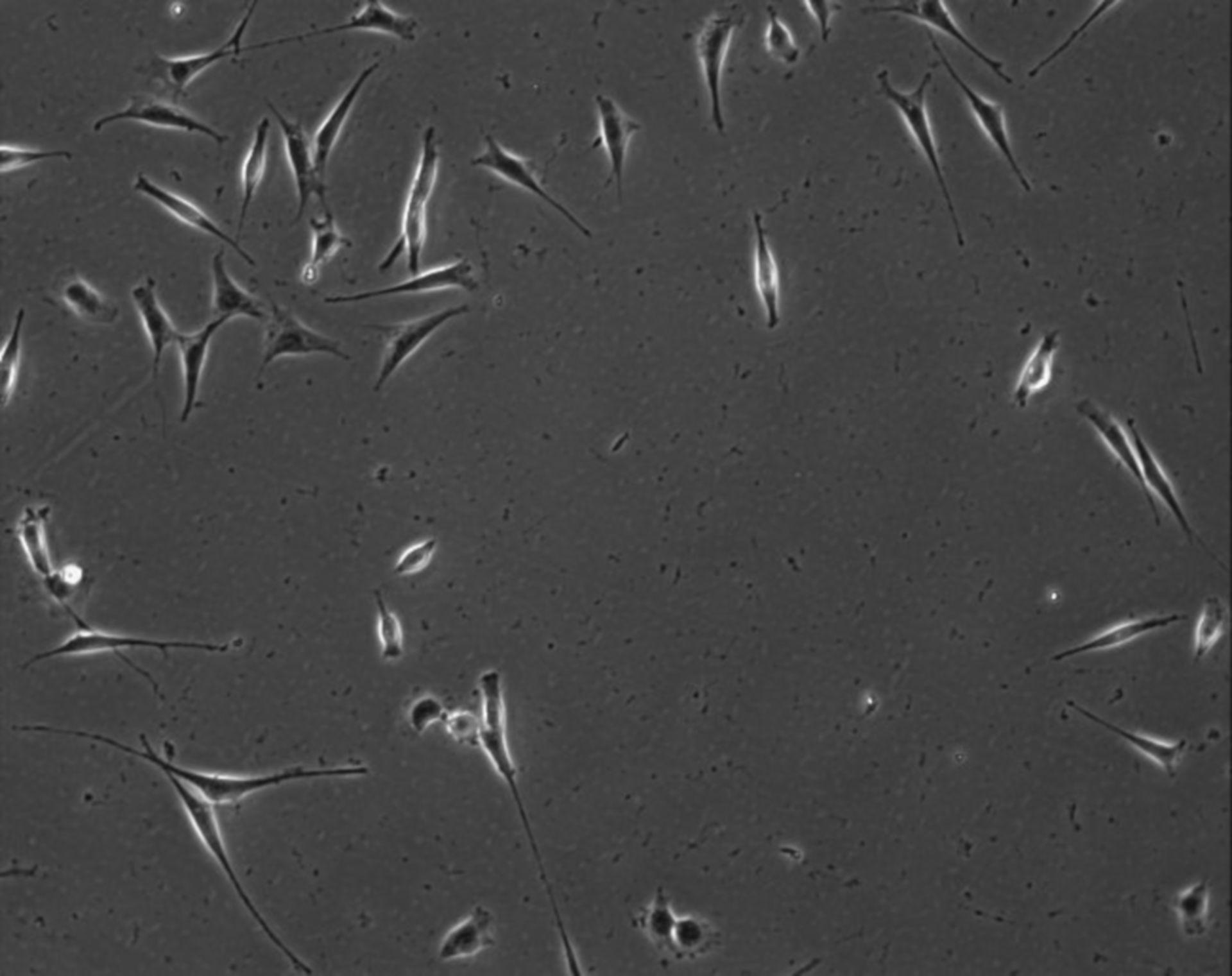 Mus musculus (Extracellular matrix part) - CIL:7901