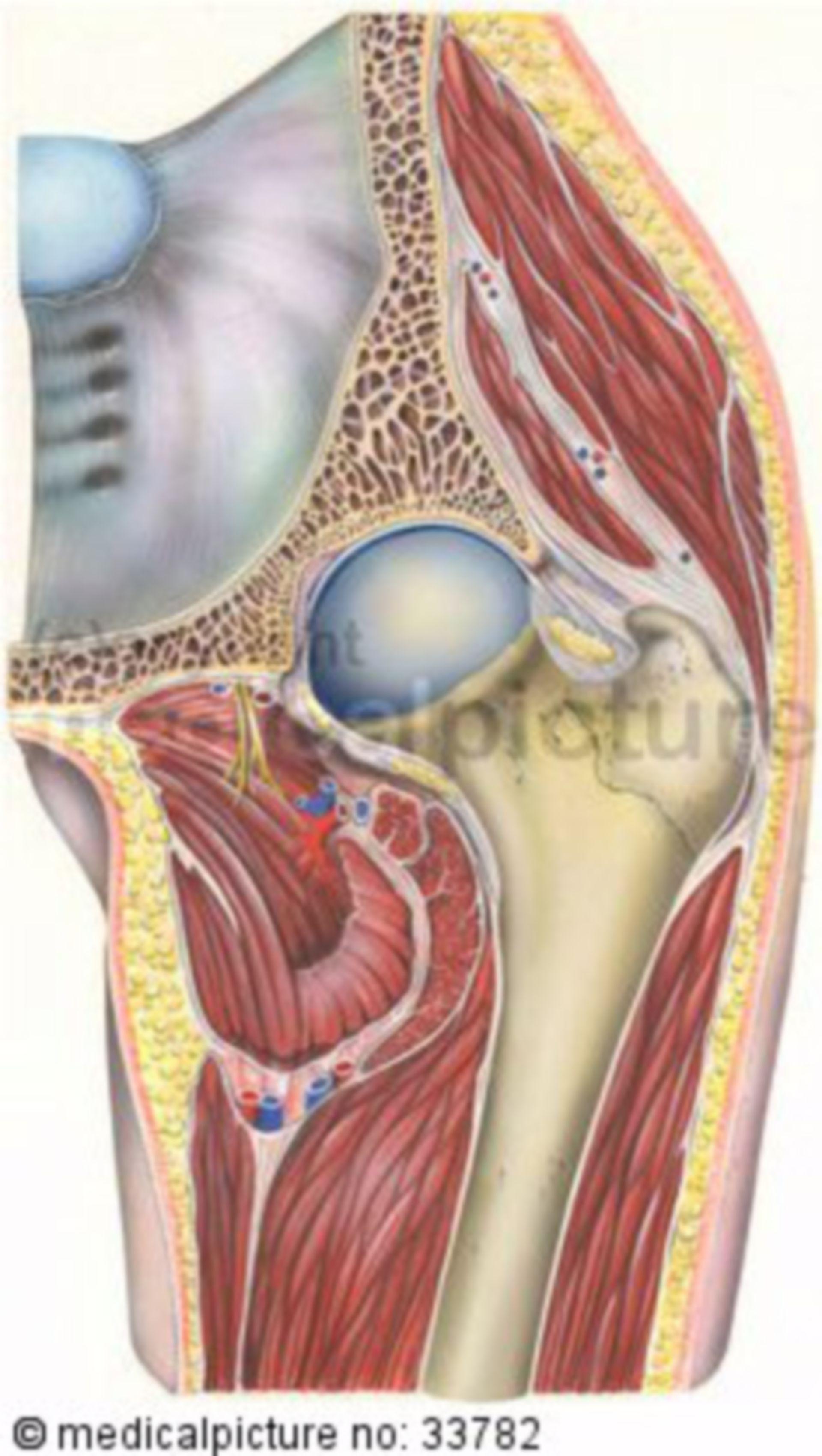 Articulación de la cadera (articulación coxofemoral)