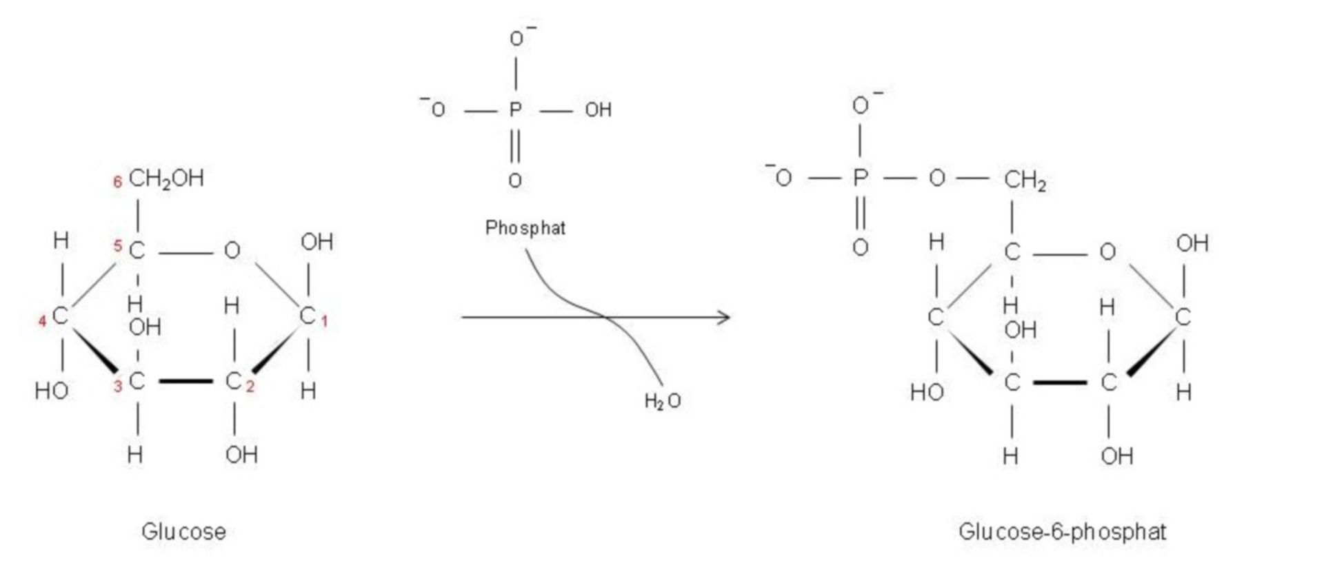 Fosforilazione del glucosio in glucosio-6-fosfato