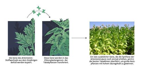 Neue Methoden der Pflanzenbiotechnologie könnten die kostengünstige Massenproduktion eines Malariamedikaments ermöglichen. Durch den Transfer von Genen des Einjährigen Beifuß in Tabak kann die natürlich vorkommende Artemisininsäure in großem Maßstab produziert werden. © Fuentes