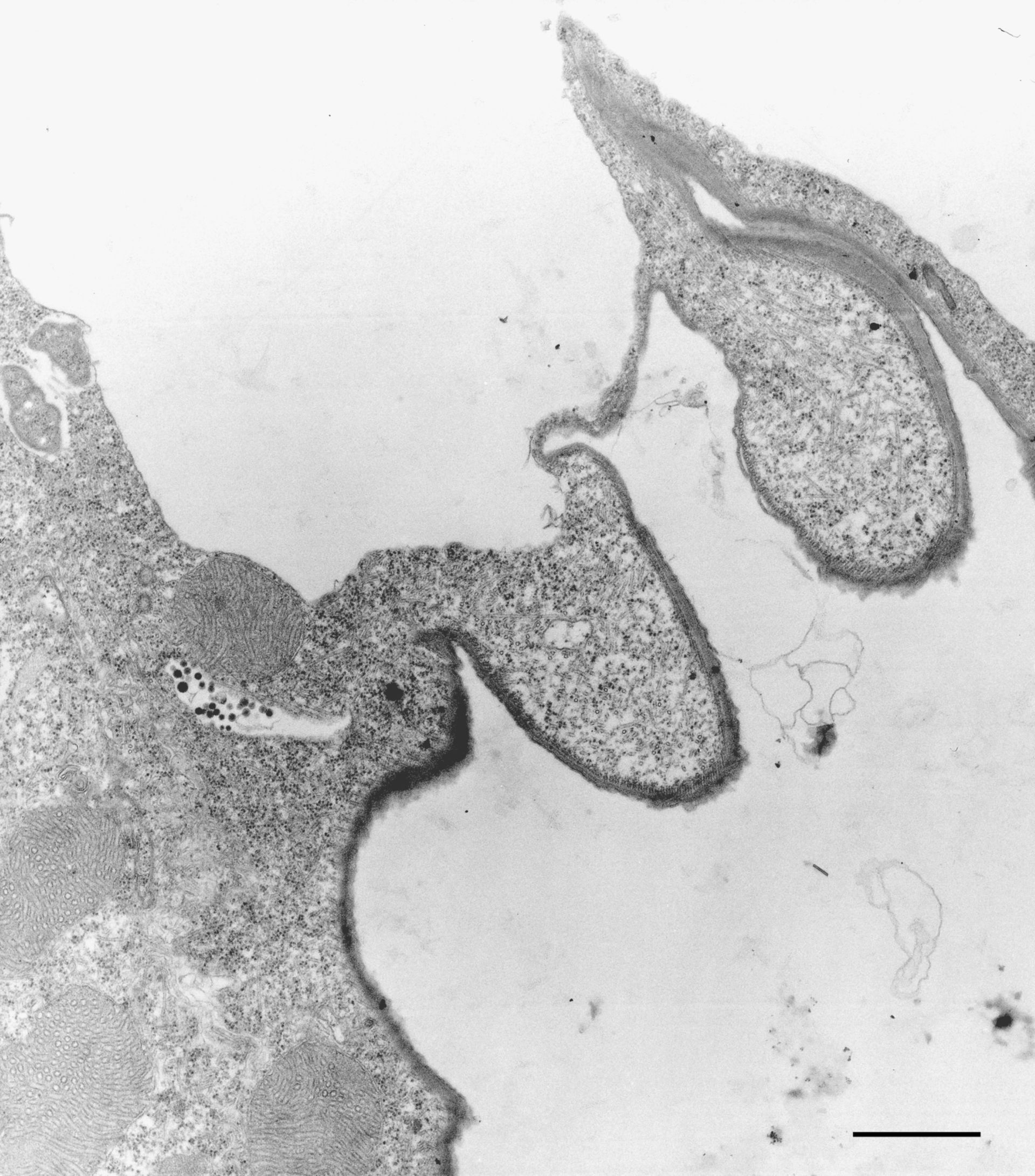 Euplotes sp. (Microtubule) - CIL:9907
