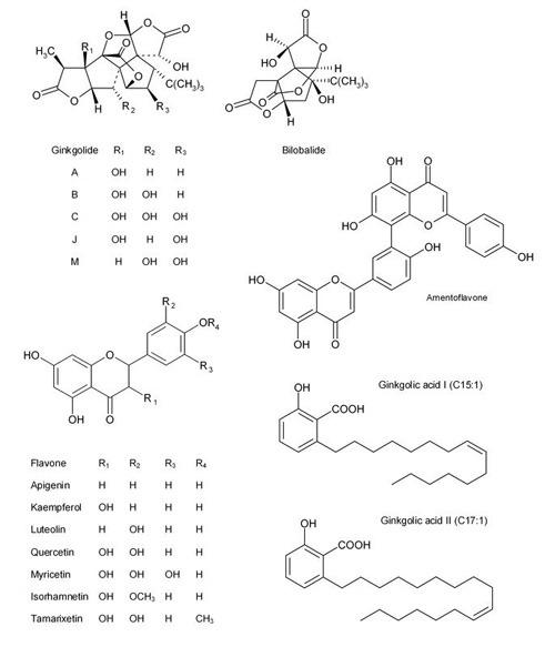 Ginkgolide, Bilobalid und Ginkgolsäuren: Unter anderem diese Inhaltsstoffe geben Ginkgo-Blättern ihren therapeutischen Wert. © Matthias Unger