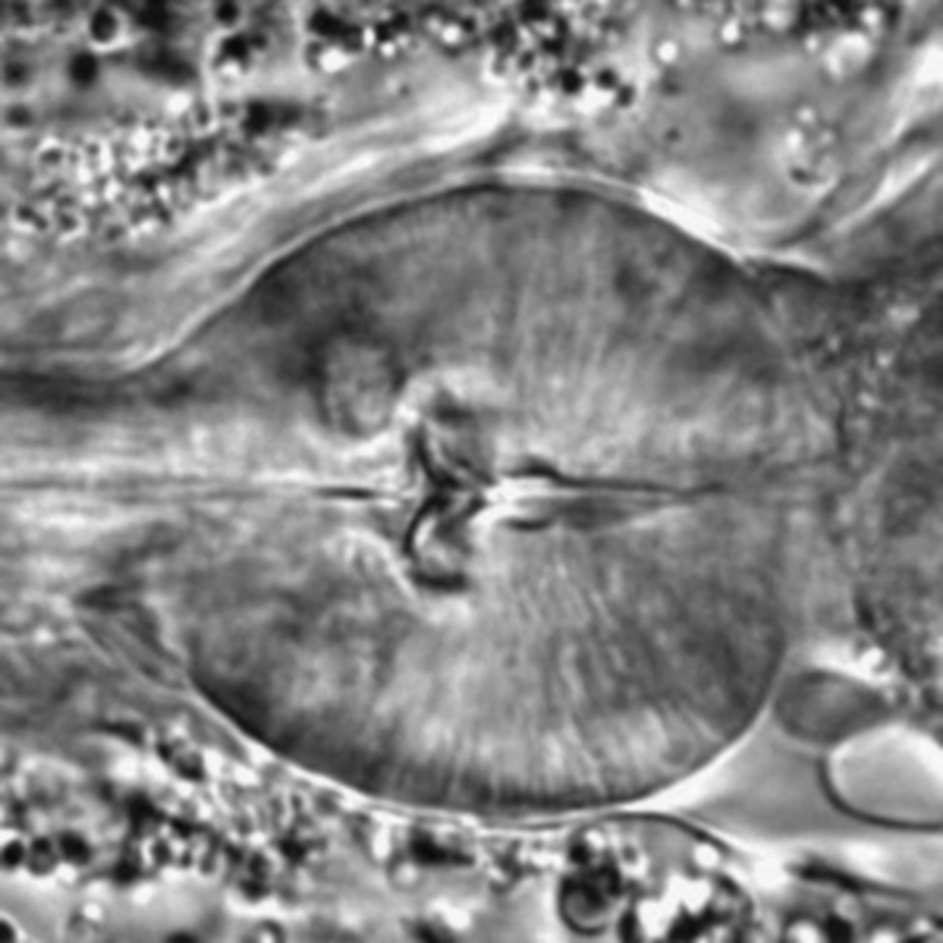 Caenorhabditis elegans - CIL:1723