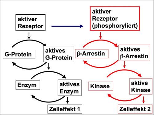 Alte und neue Signalwege von Rezeptoren. Forscher haben jetzt einen zweiten Signalweg entdeckt. © Arbeitsgruppe Lohse, Rudolf-Virchow-Zentrum Universität Würzburg