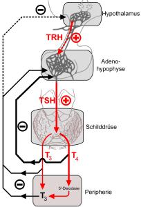 Der thyreotrope Regelkreis oder die Hypothalamisch-Hypophysär-Thyreotrope Achse (vereinfachte Darstellung). Die Endprodukte T4 und T3 hemmen sowohl die TRH- als auch die TSH-Bildung. Von Kuebi = Armin Kübelbeck - Eigenes Werk, CC BY-SA 3.0, https://commons.wikimedia.org/w/index.php?curid=4313675